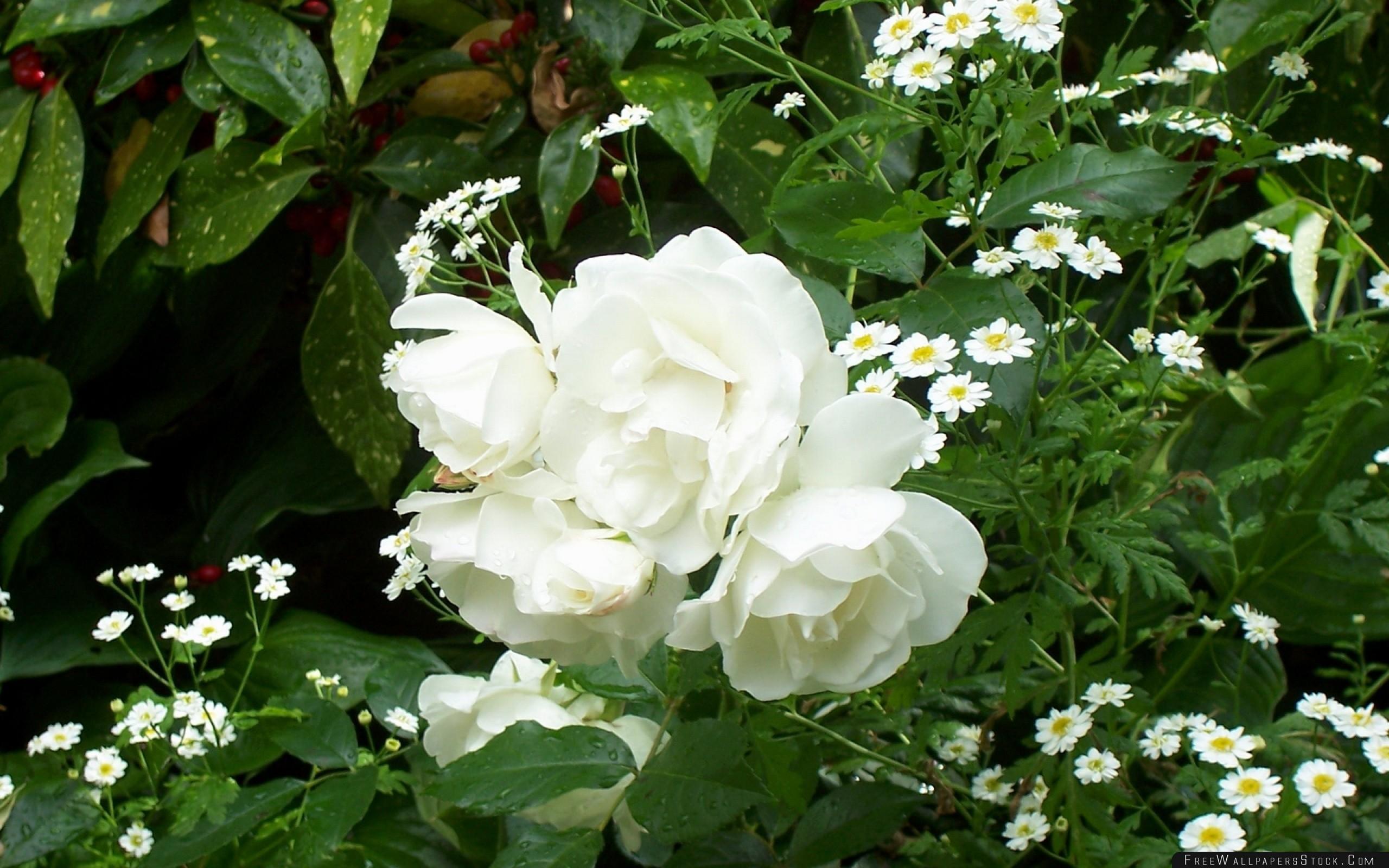 Download Free Wallpaper Rose White Bush Green Drop Freshness