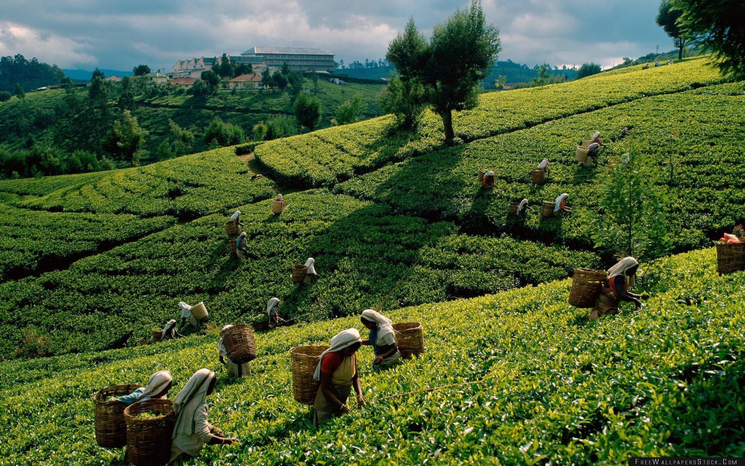 Download Free Wallpaper Tea Plantations Fields Working Women Gathering
