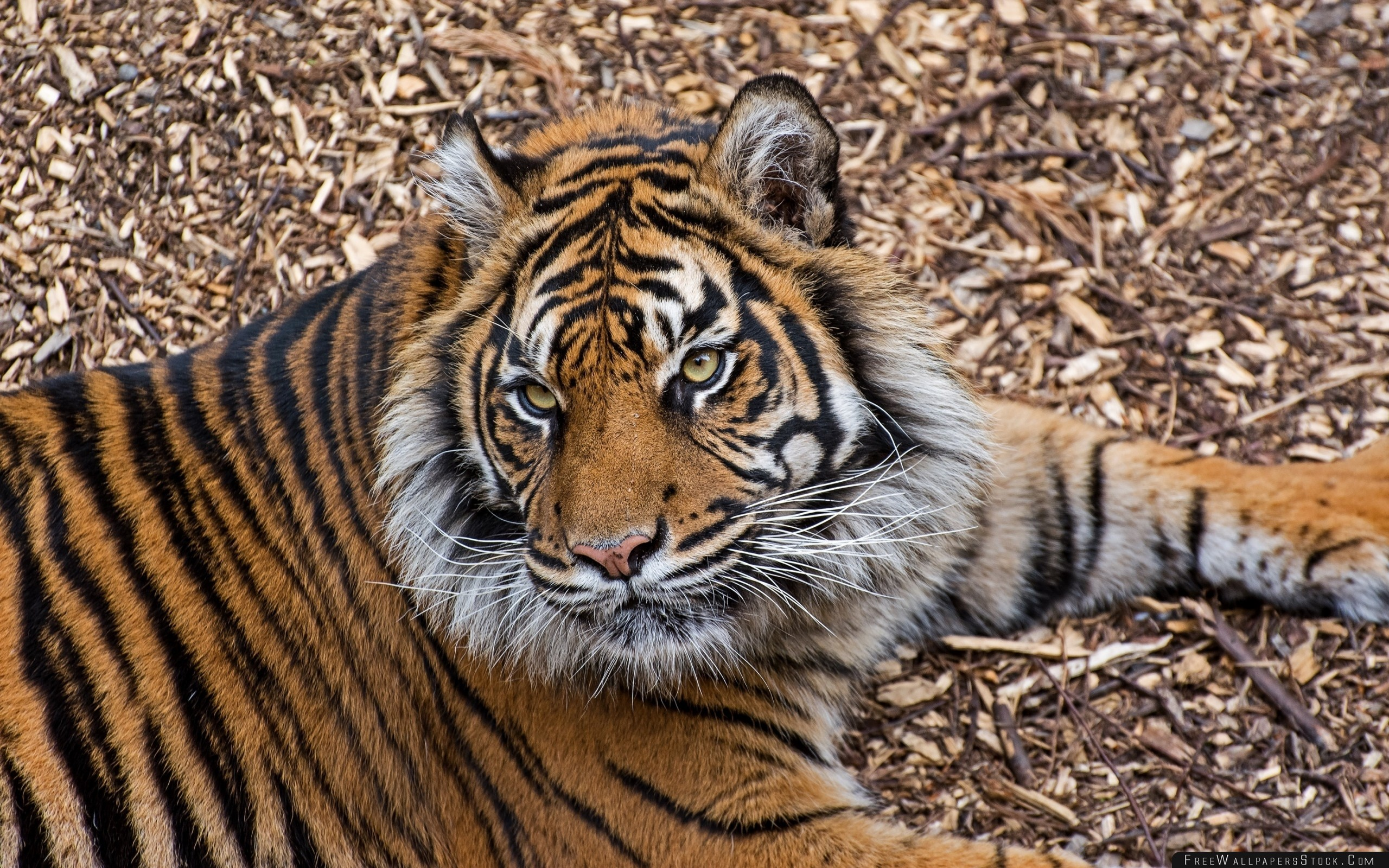 Download Free Wallpaper Tiger Predator Lying Branches Big Cat