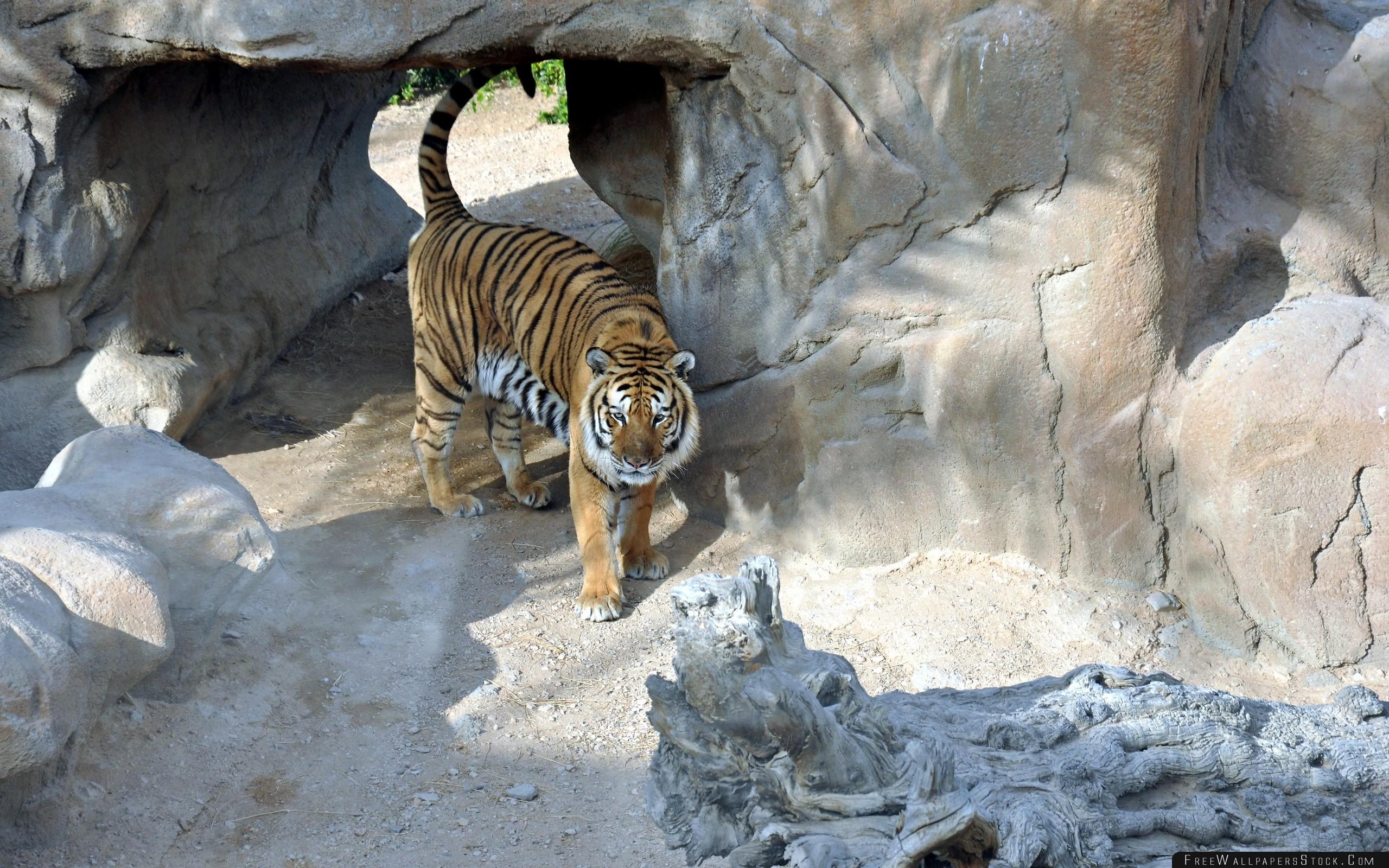 Download Free Wallpaper Tiger Reserve Rocks Predator