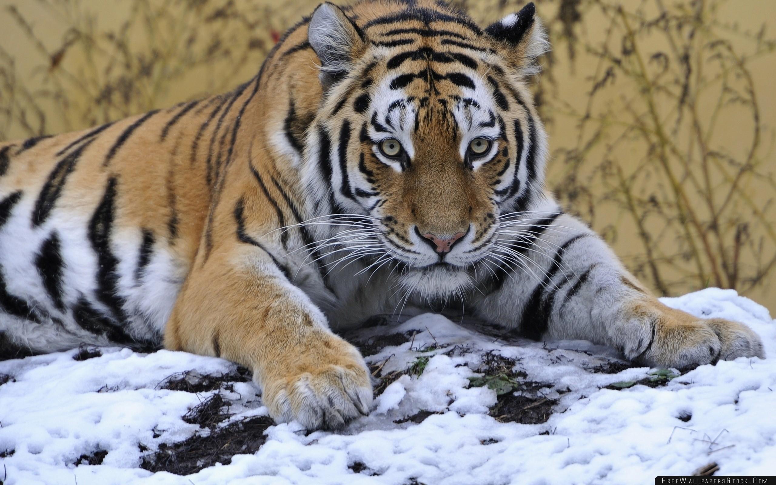 Download Free Wallpaper Tiger Snout Snow Lying