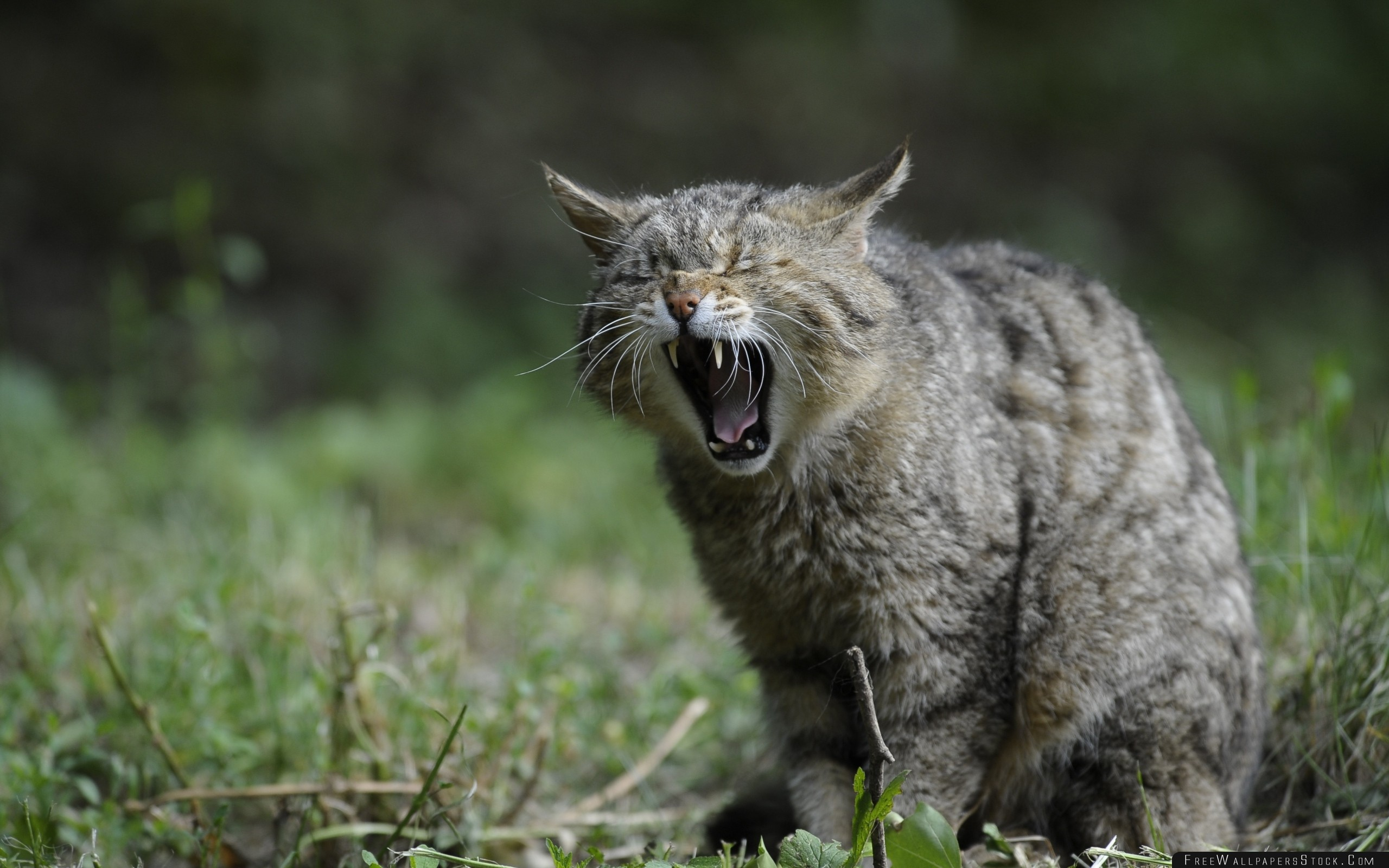 Download Free Wallpaper Wild Cat Screaming Aggression