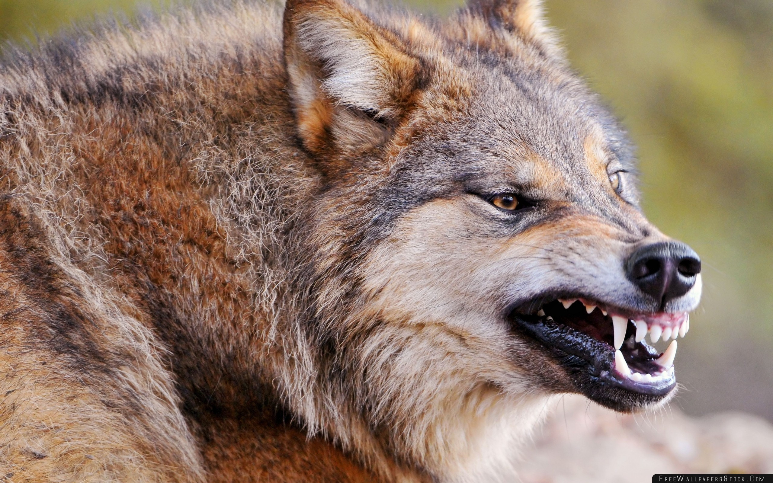 Download Free Wallpaper Wolf Face Teeth Aggression Predator