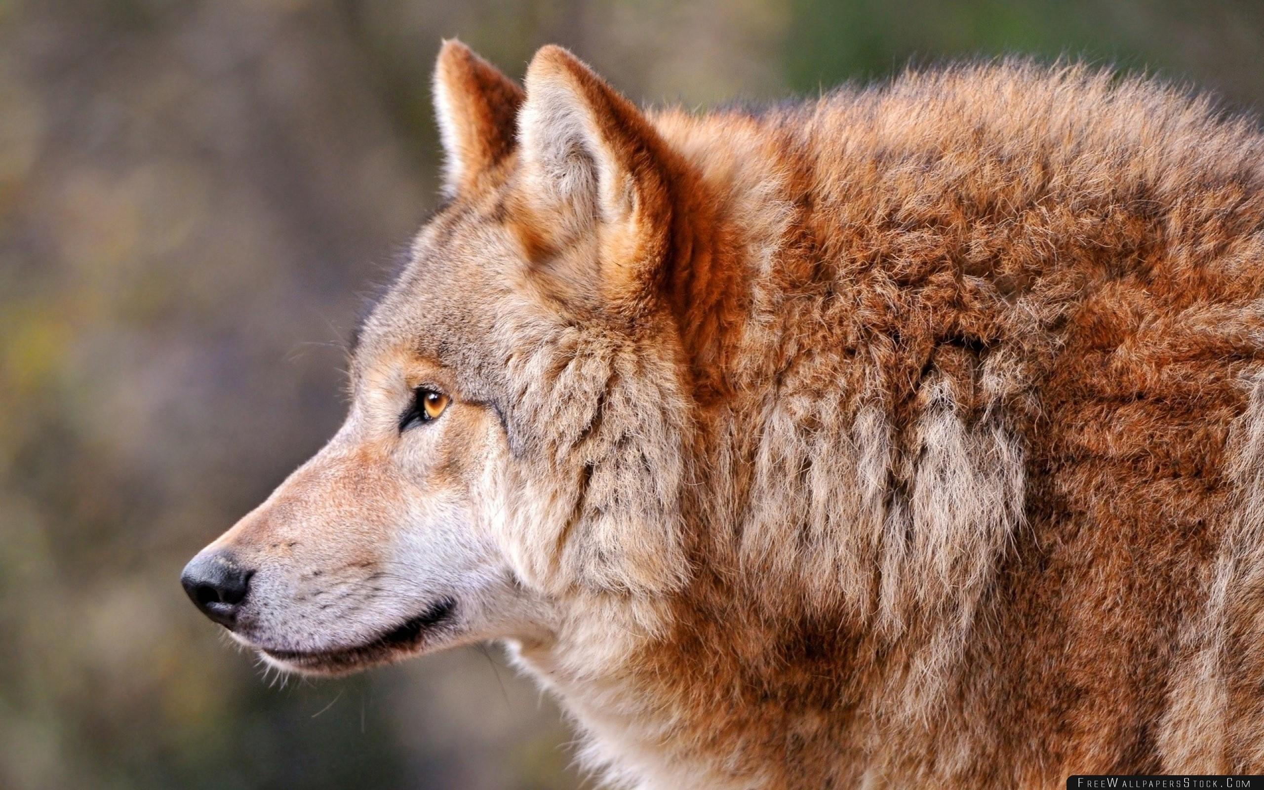 Download Free Wallpaper Wolf Profile Animal Predator Dog