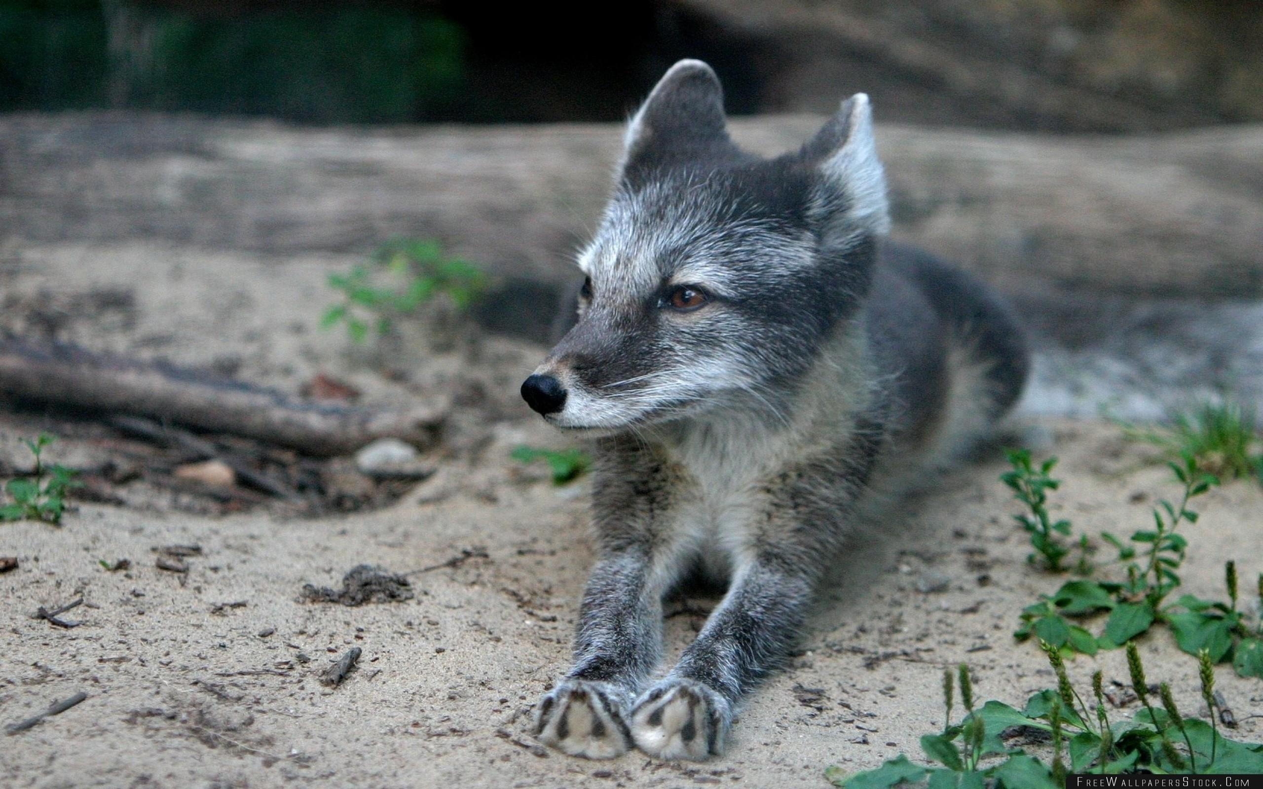 Download Free Wallpaper Wood Fox Cub Fur Lying Grass