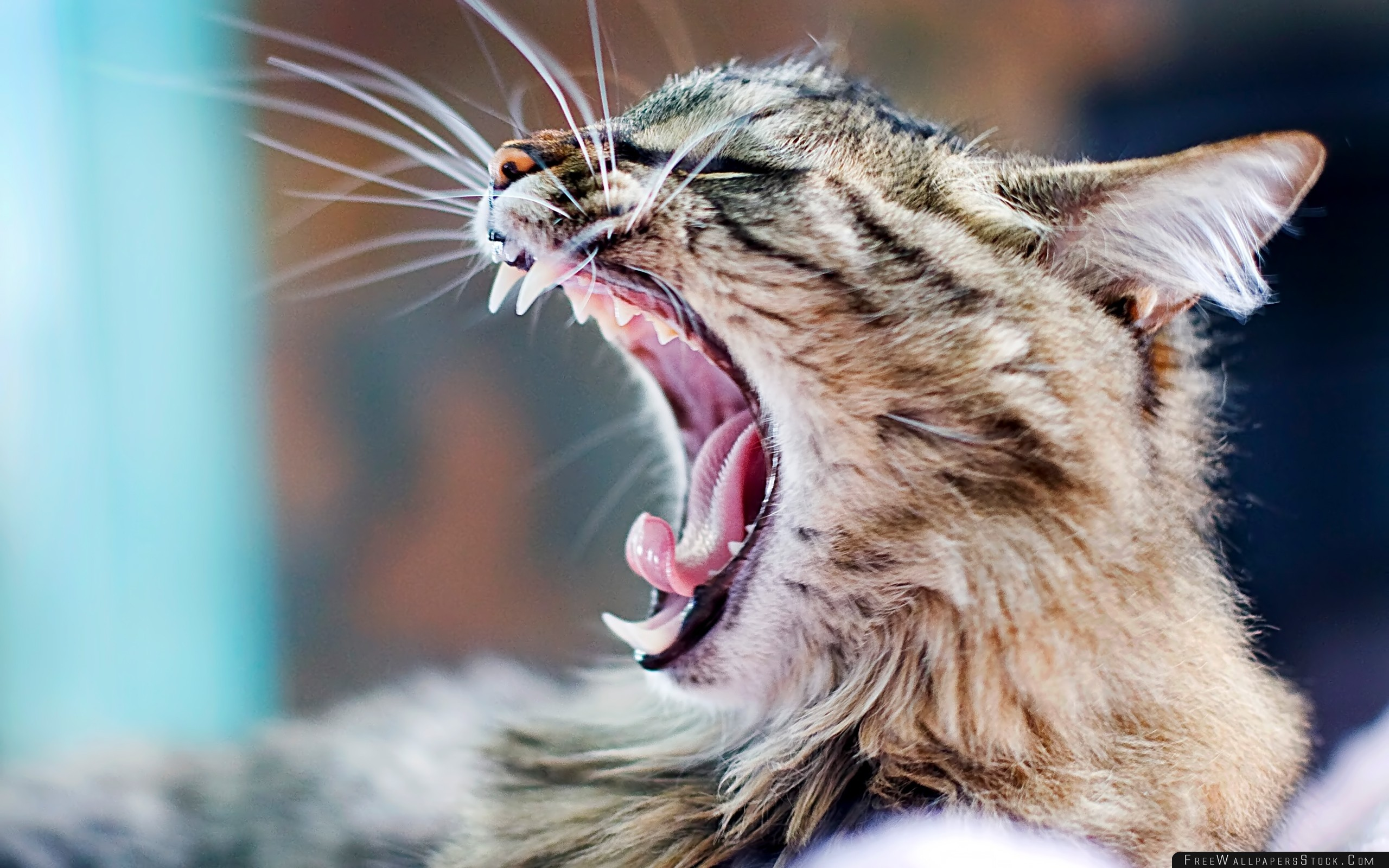 Download Free Wallpaper Yawning Cat Aggression