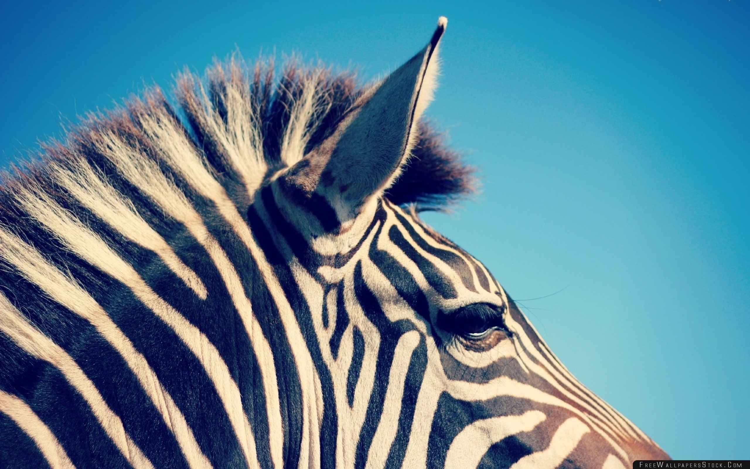 Download Free Wallpaper Zebra Head Band