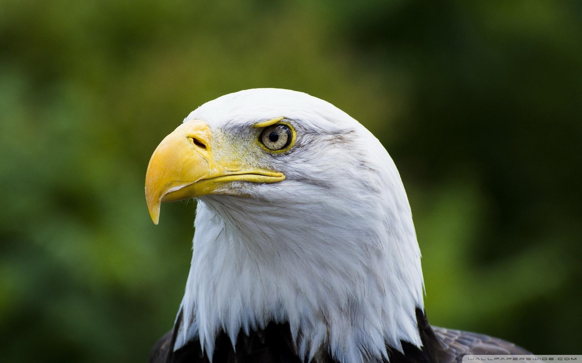 Download Free WallpaperBald Eagle Yellow Beak