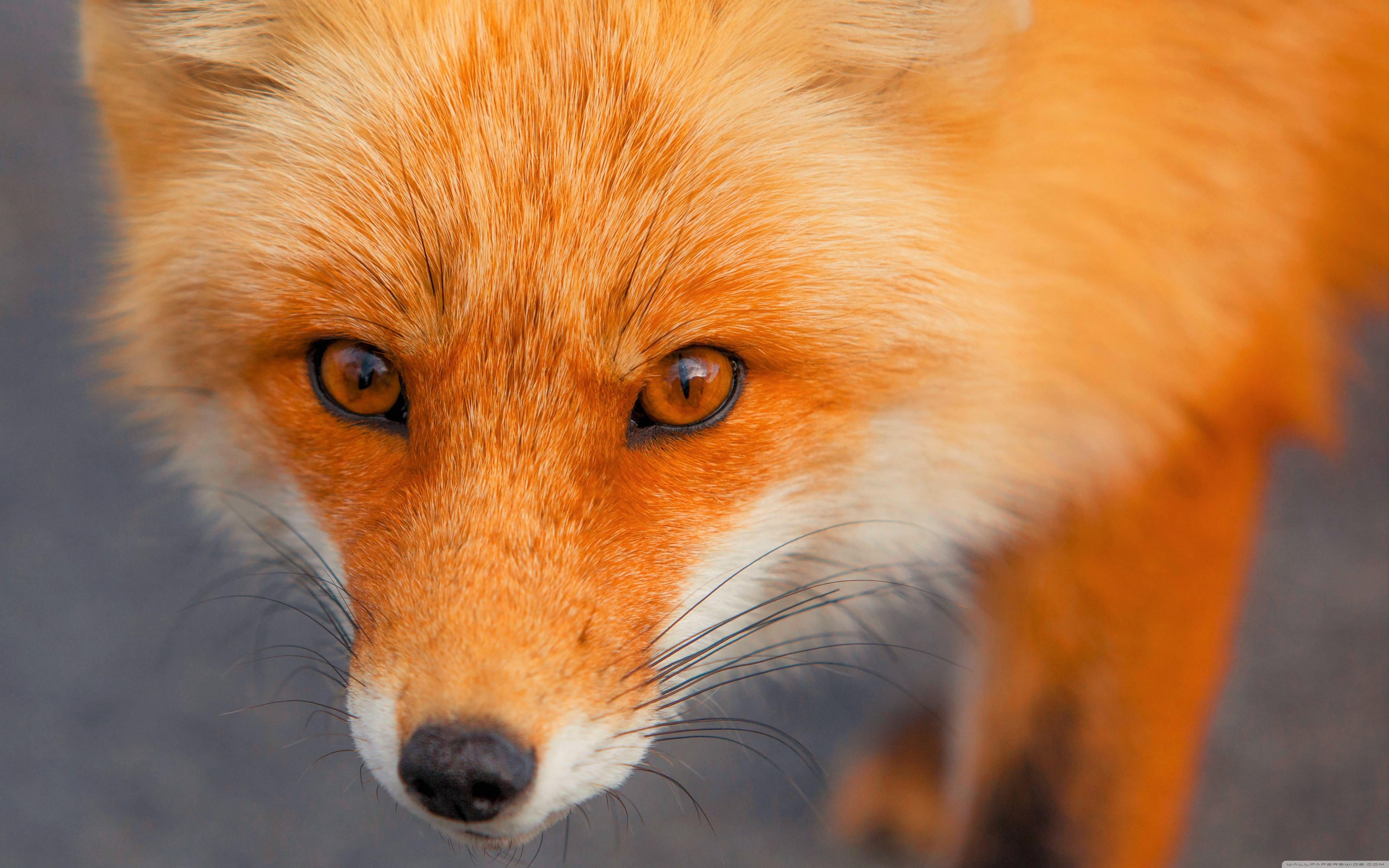 Download Free WallpaperRed Fox Face