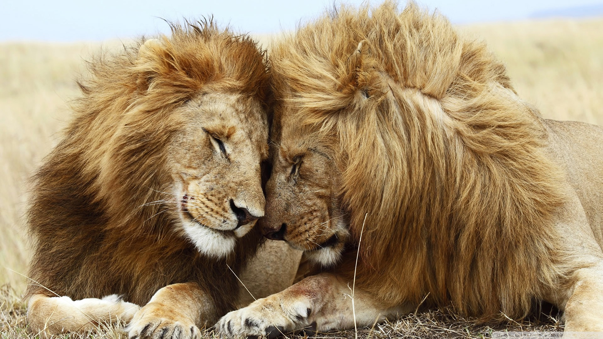 Download Free WallpaperTwo Male Lions