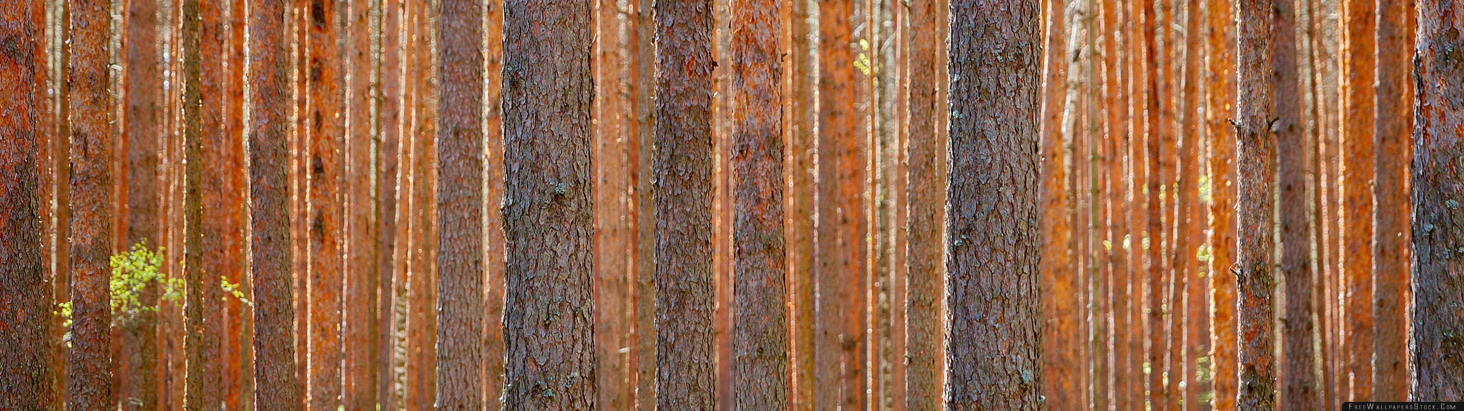 Download Free Wallpaper Pine Forest