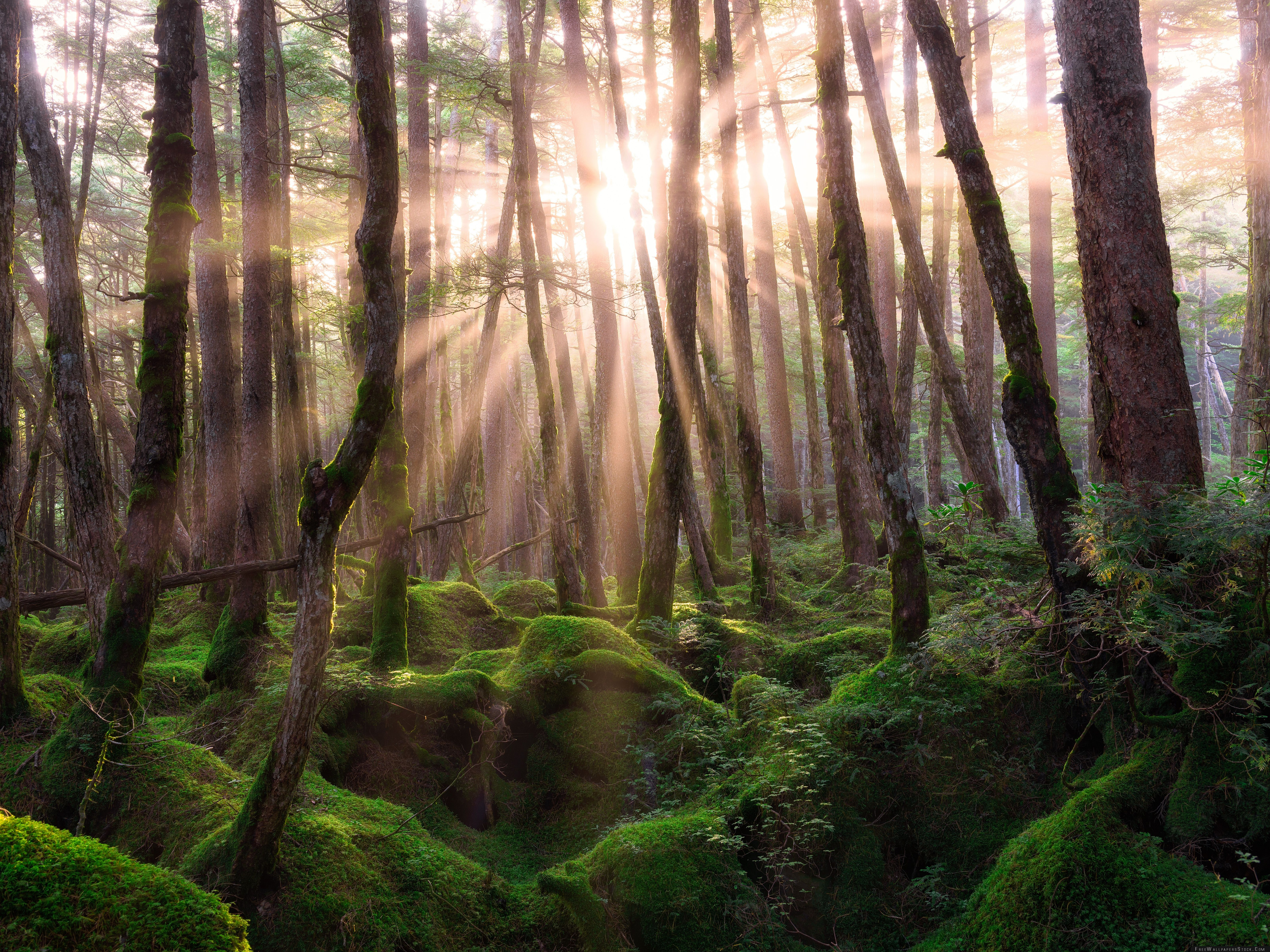 Download Free Wallpaper Pine Forest Sunrise