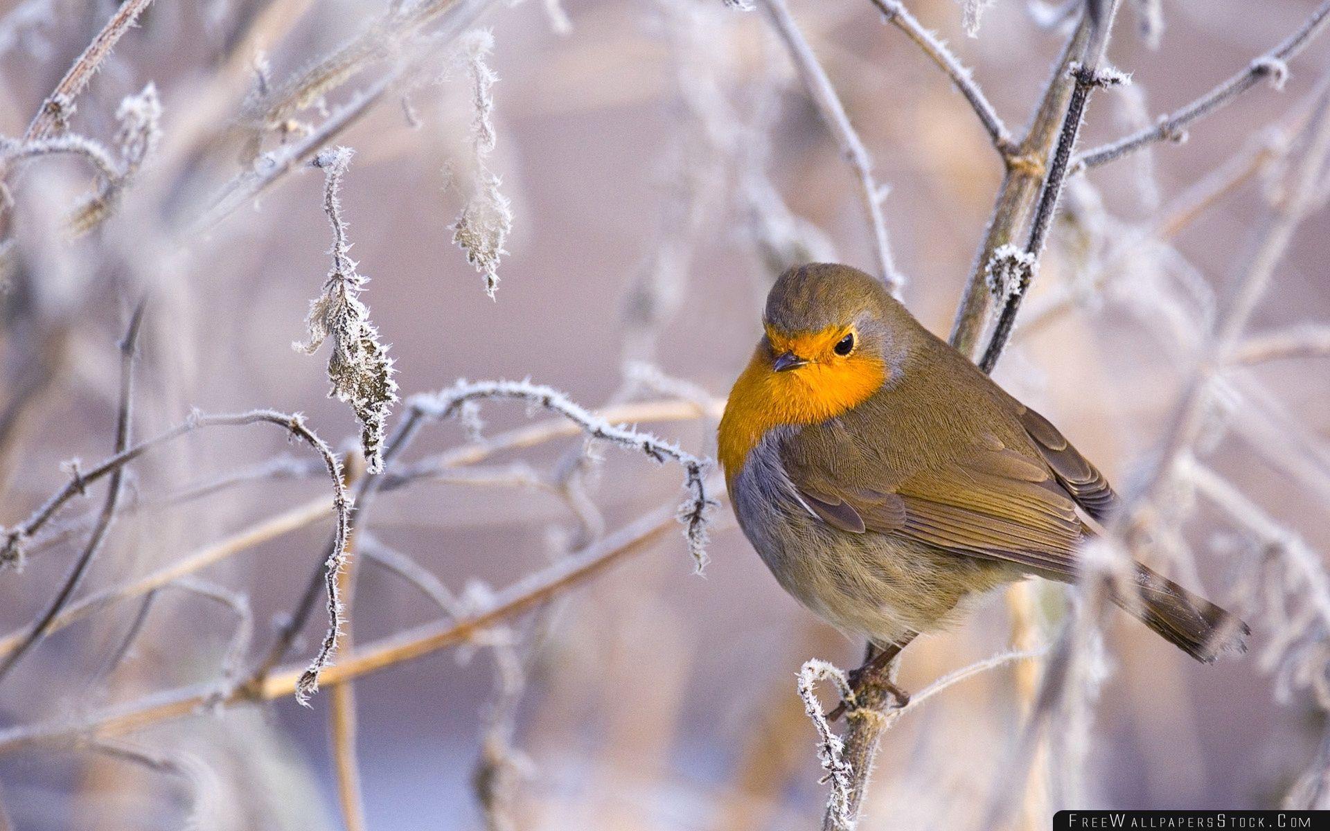 Download Free Wallpaper Robin Bird