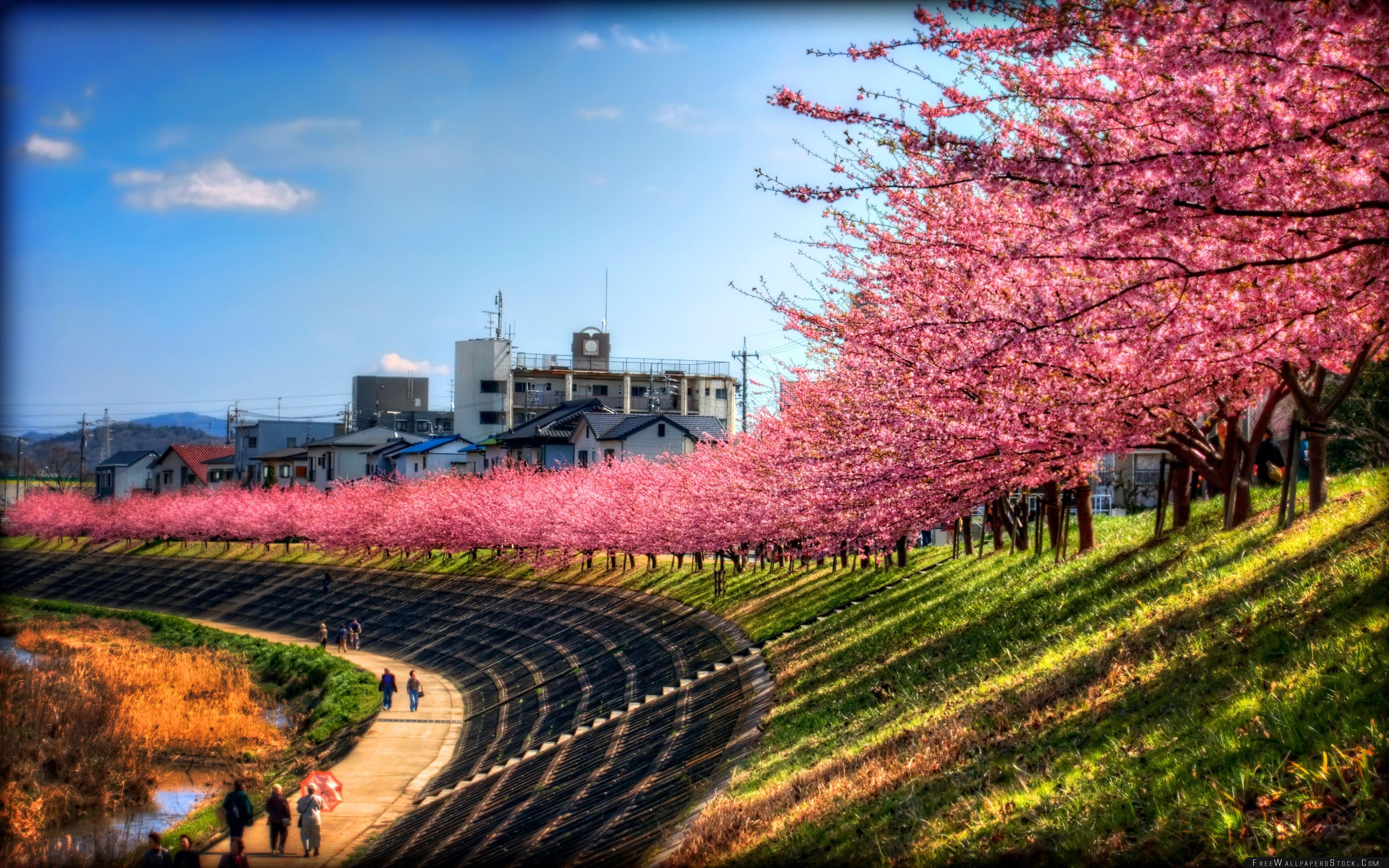 Download Free Wallpaper Sakura Along The River