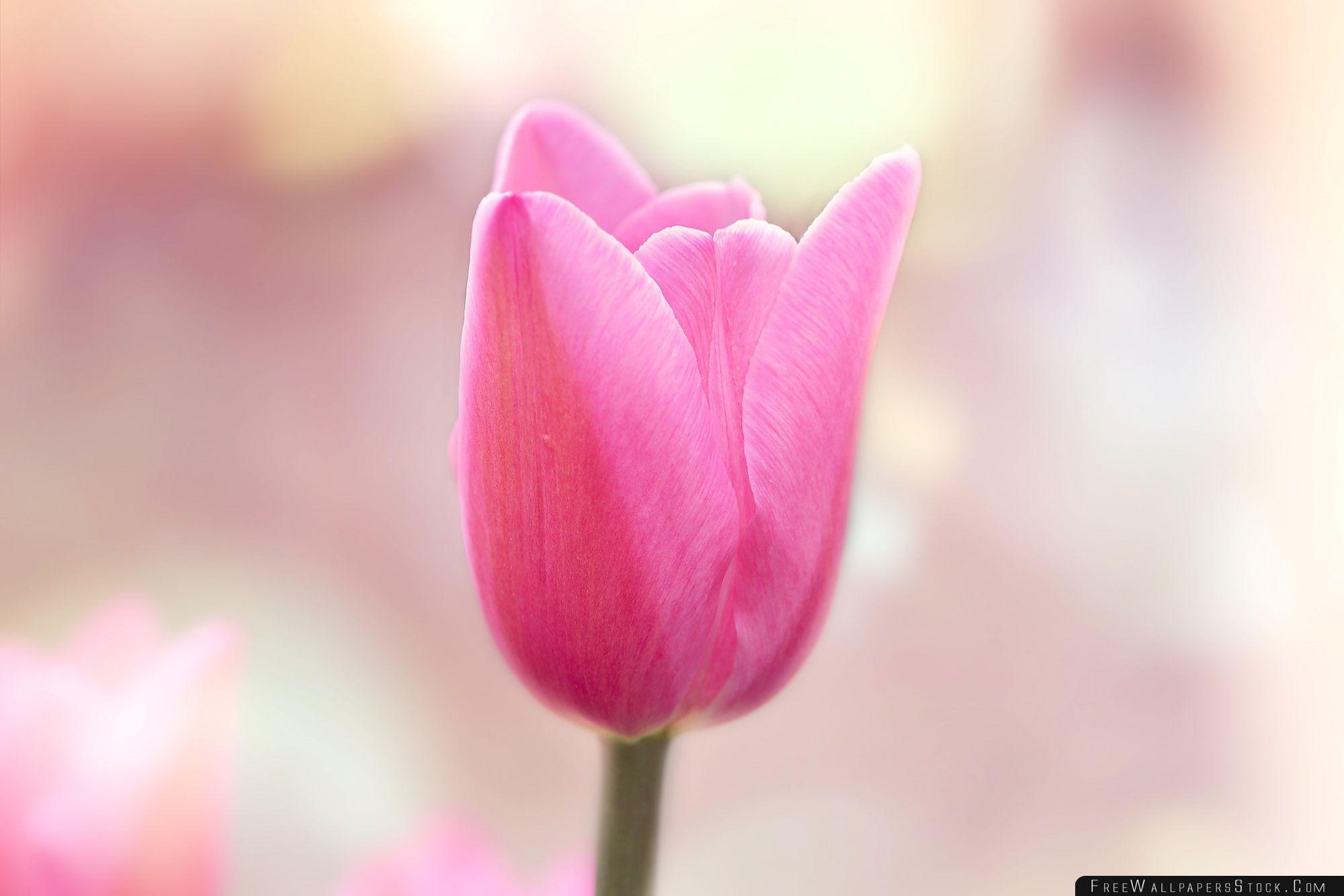Download Free Wallpaper Spring Light Pink Tulip