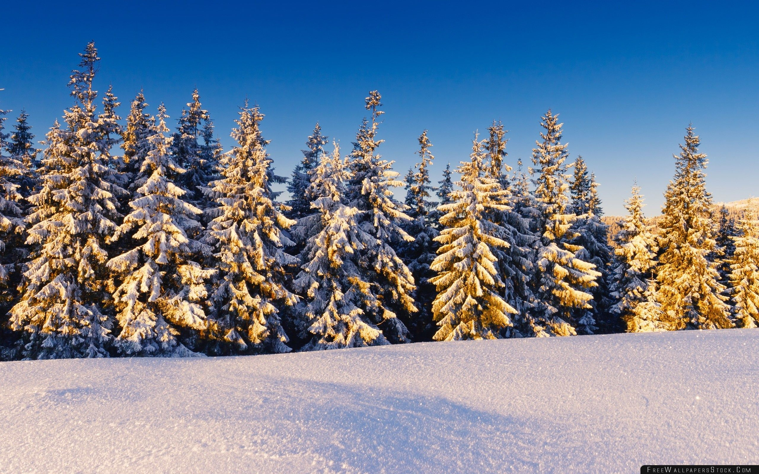 Download Free Wallpaper Spruce Trees Covered   Snow