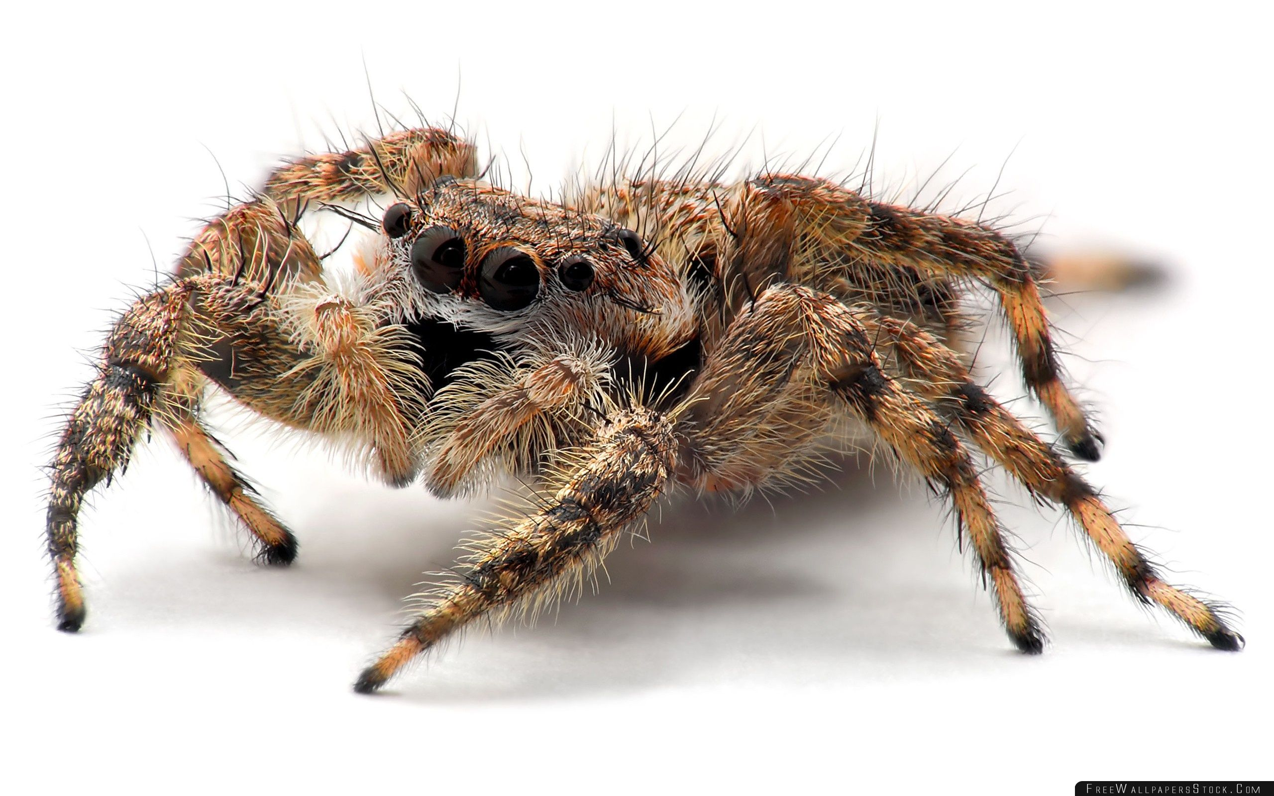 Download Free Wallpaper Tarantula Spider Close