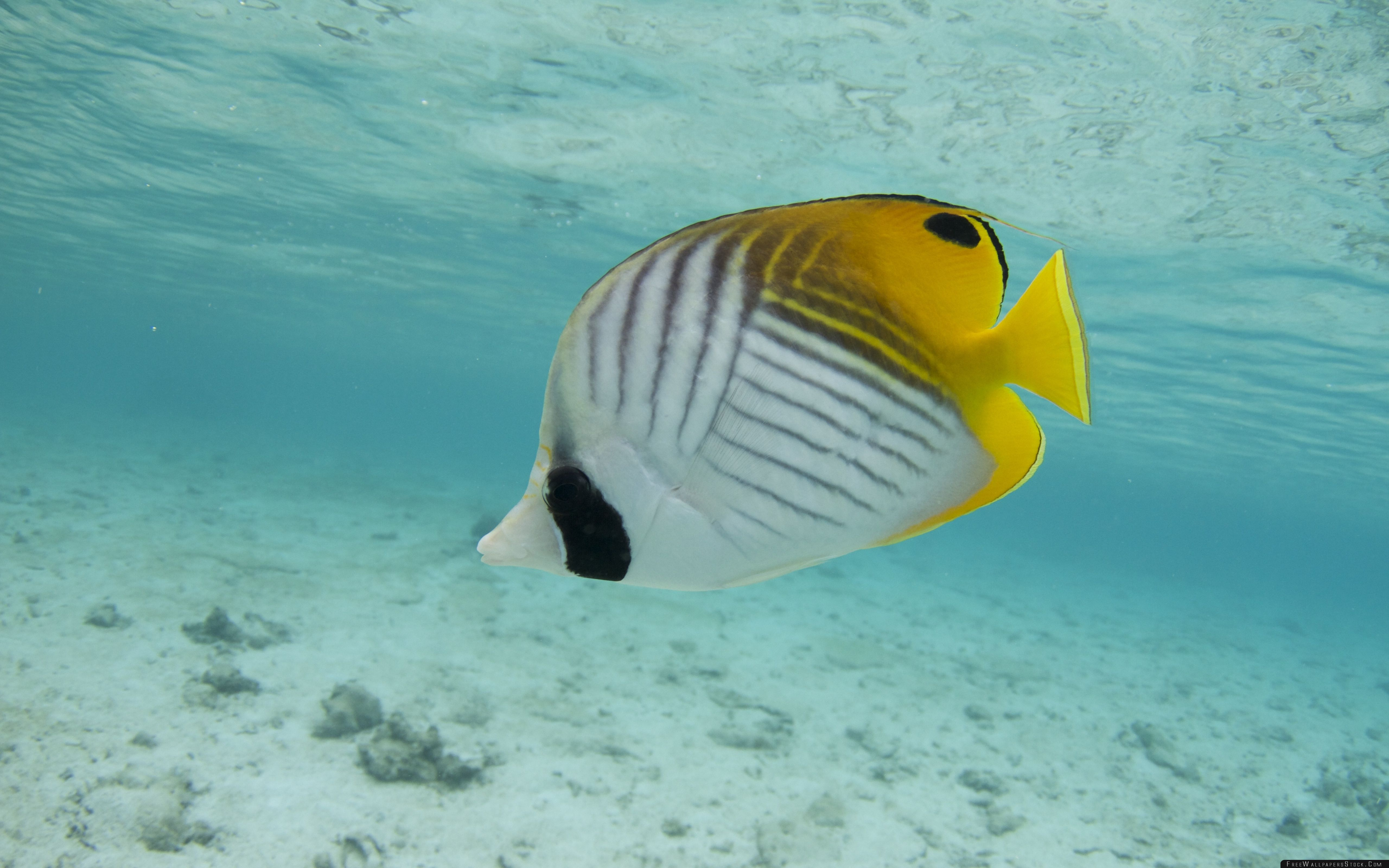 Download Free Wallpaper Thread Fin Butterfly Fish