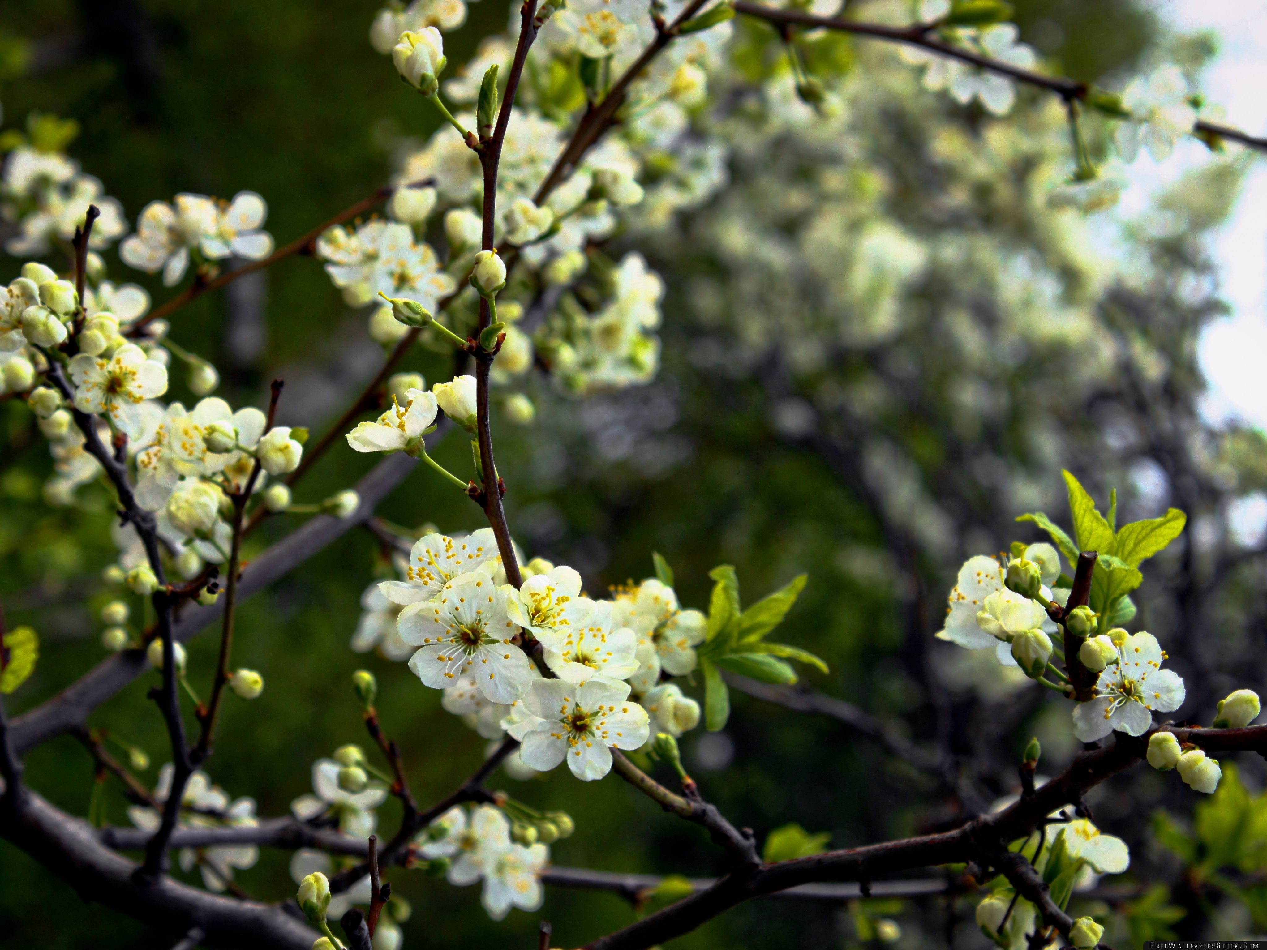 Download Free Wallpaper White Cherry Spring Flowers