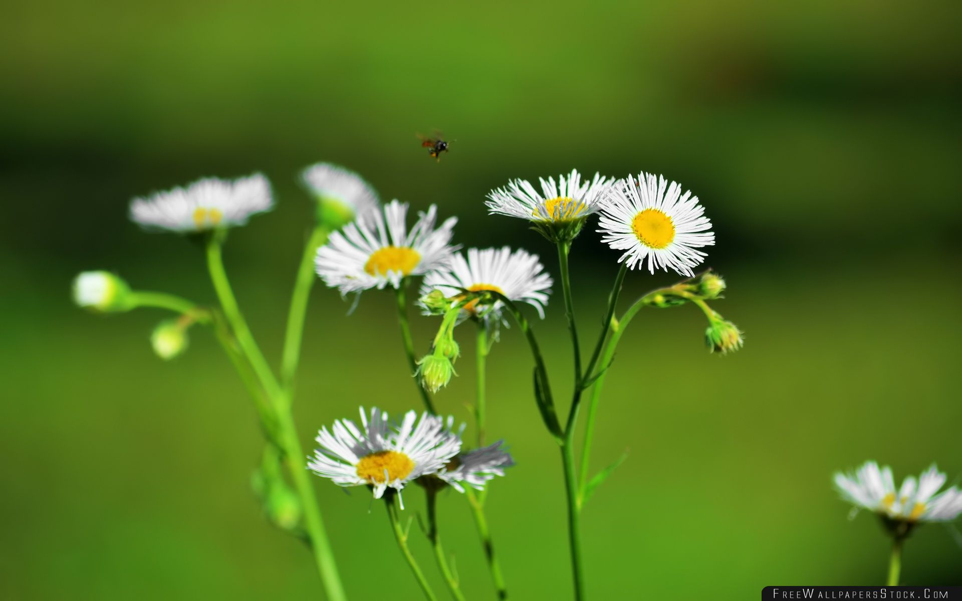 Download Free Wallpaper White Florwers And   Black Bee