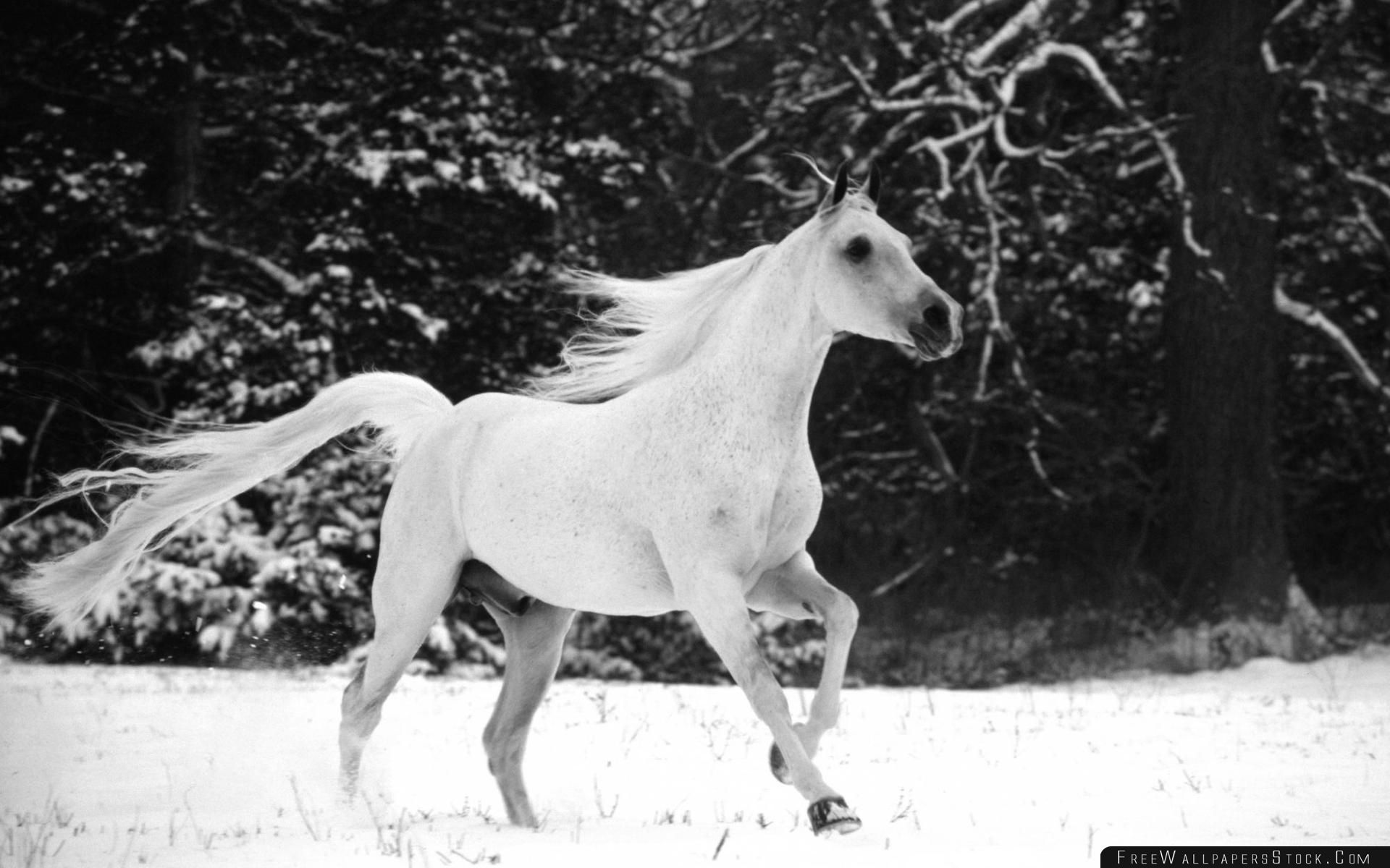 Download Free Wallpaper White Horse Running   Snow