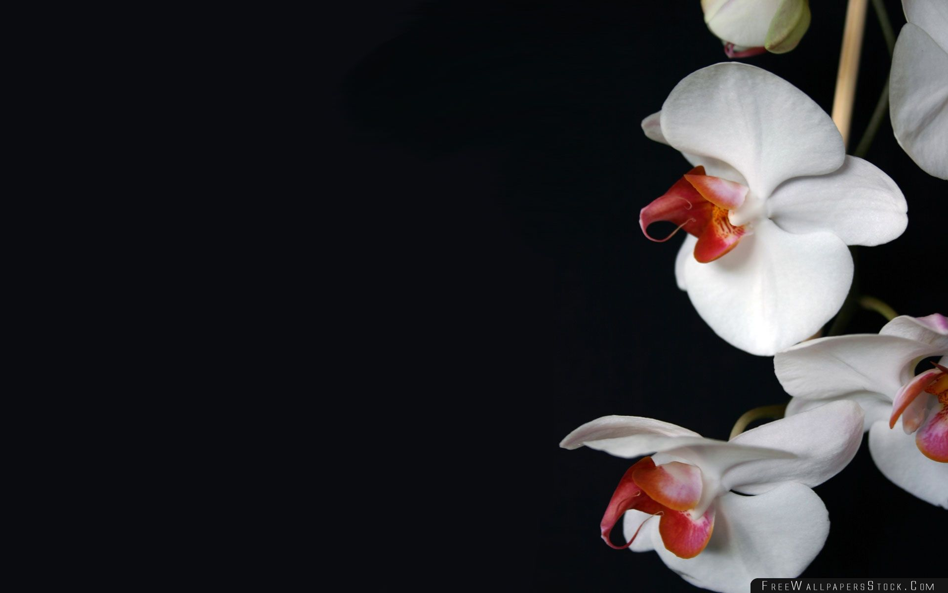 Download Free Wallpaper White Orchids Black