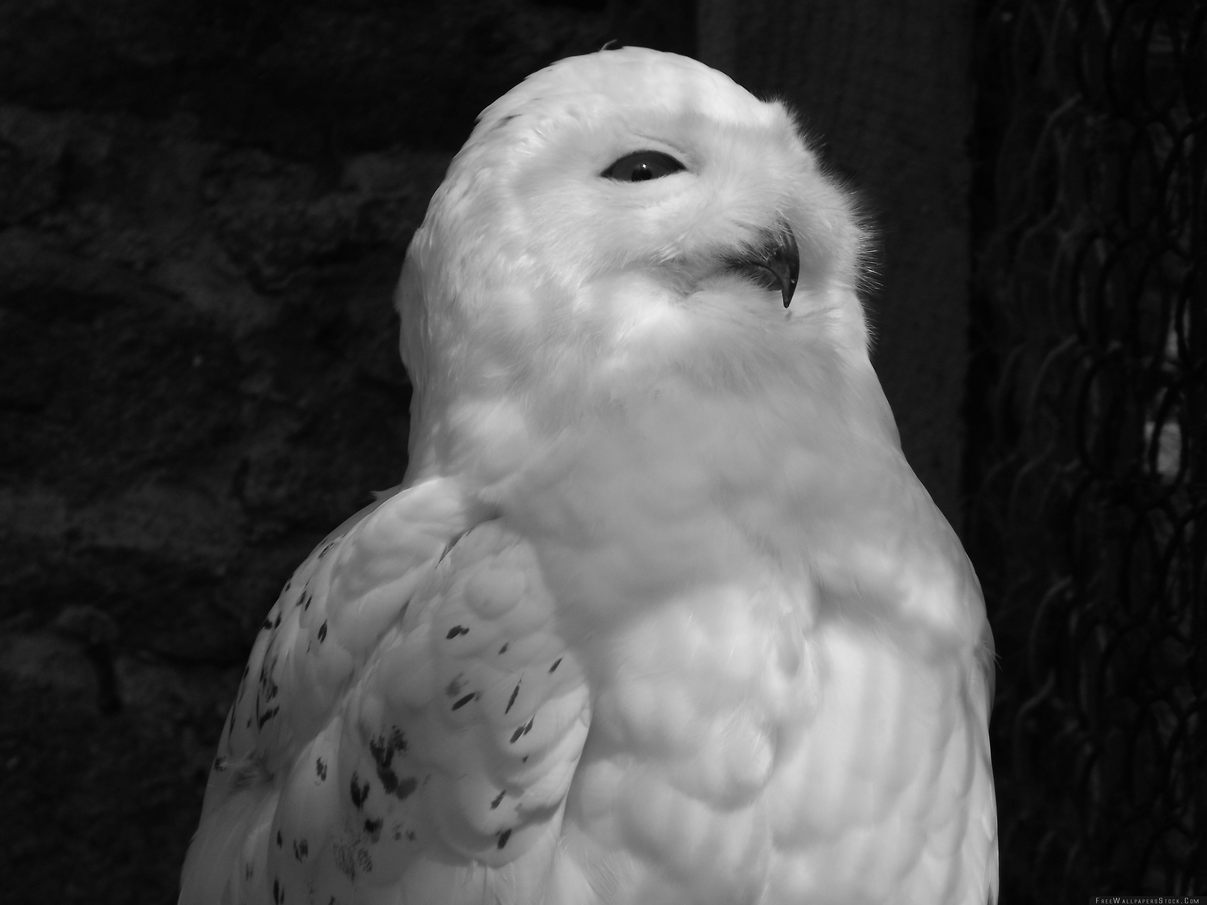 Download Free Wallpaper White Owl Black And
