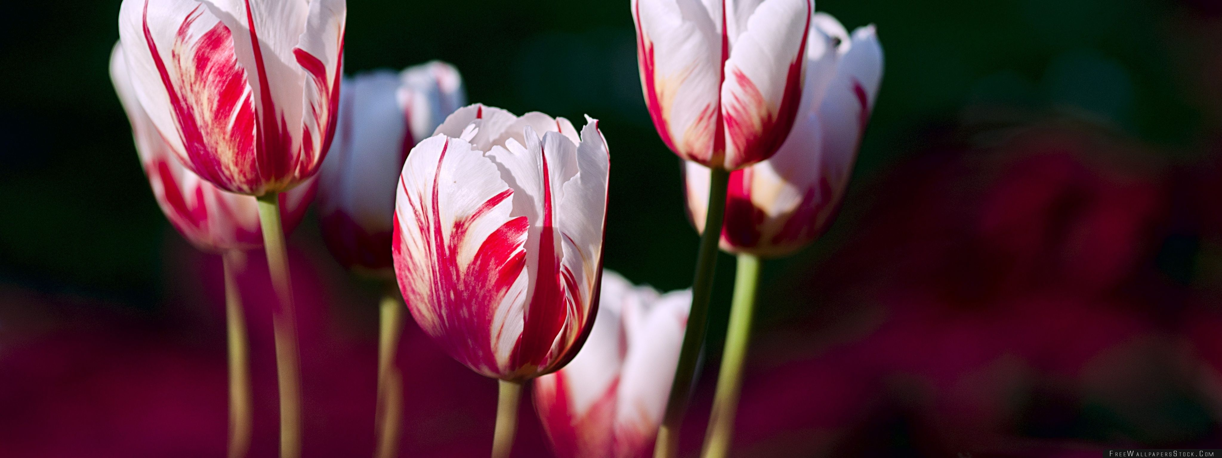 Download Free Wallpaper White Red Tulips