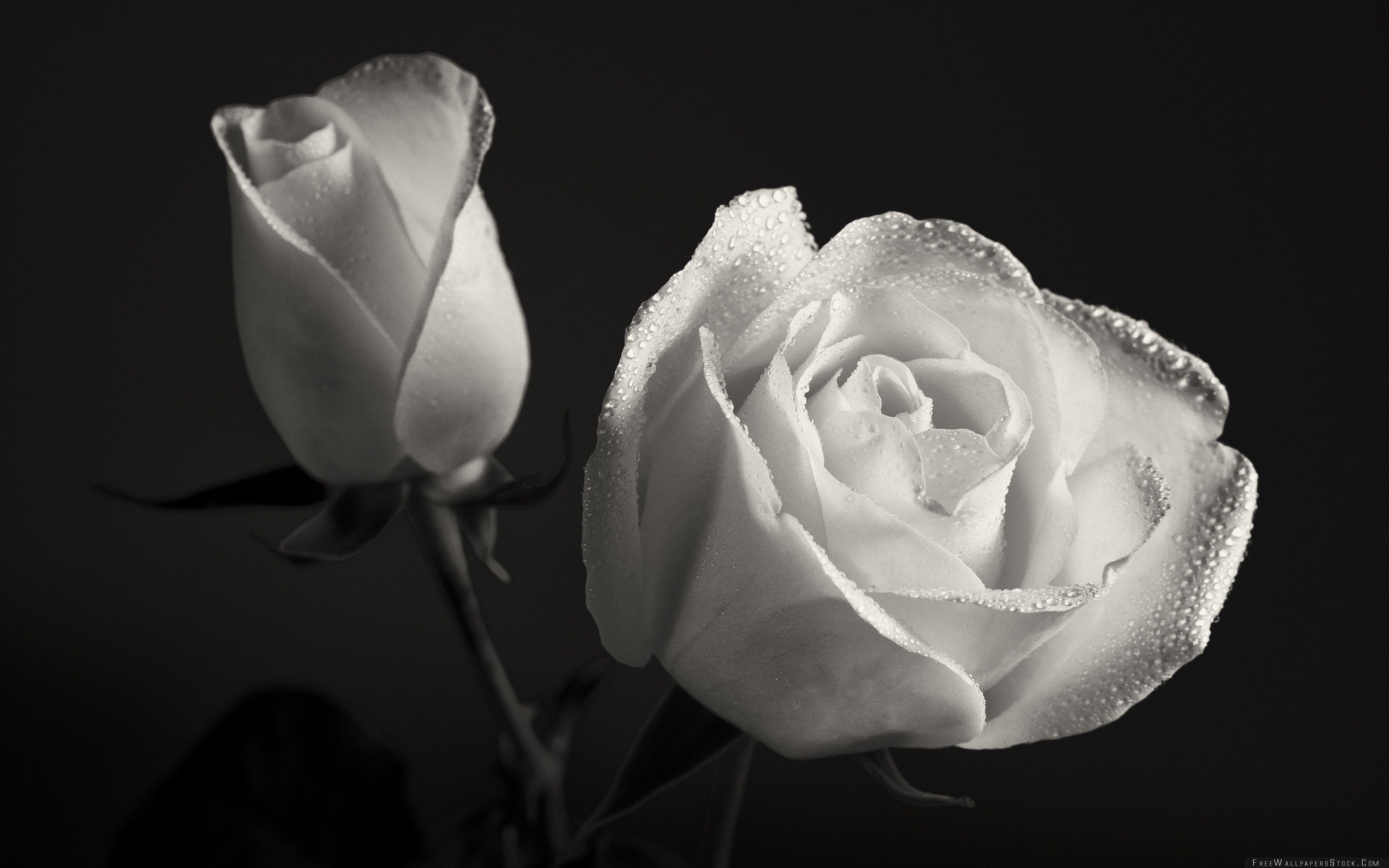 Download Free Wallpaper White Roses Black Background
