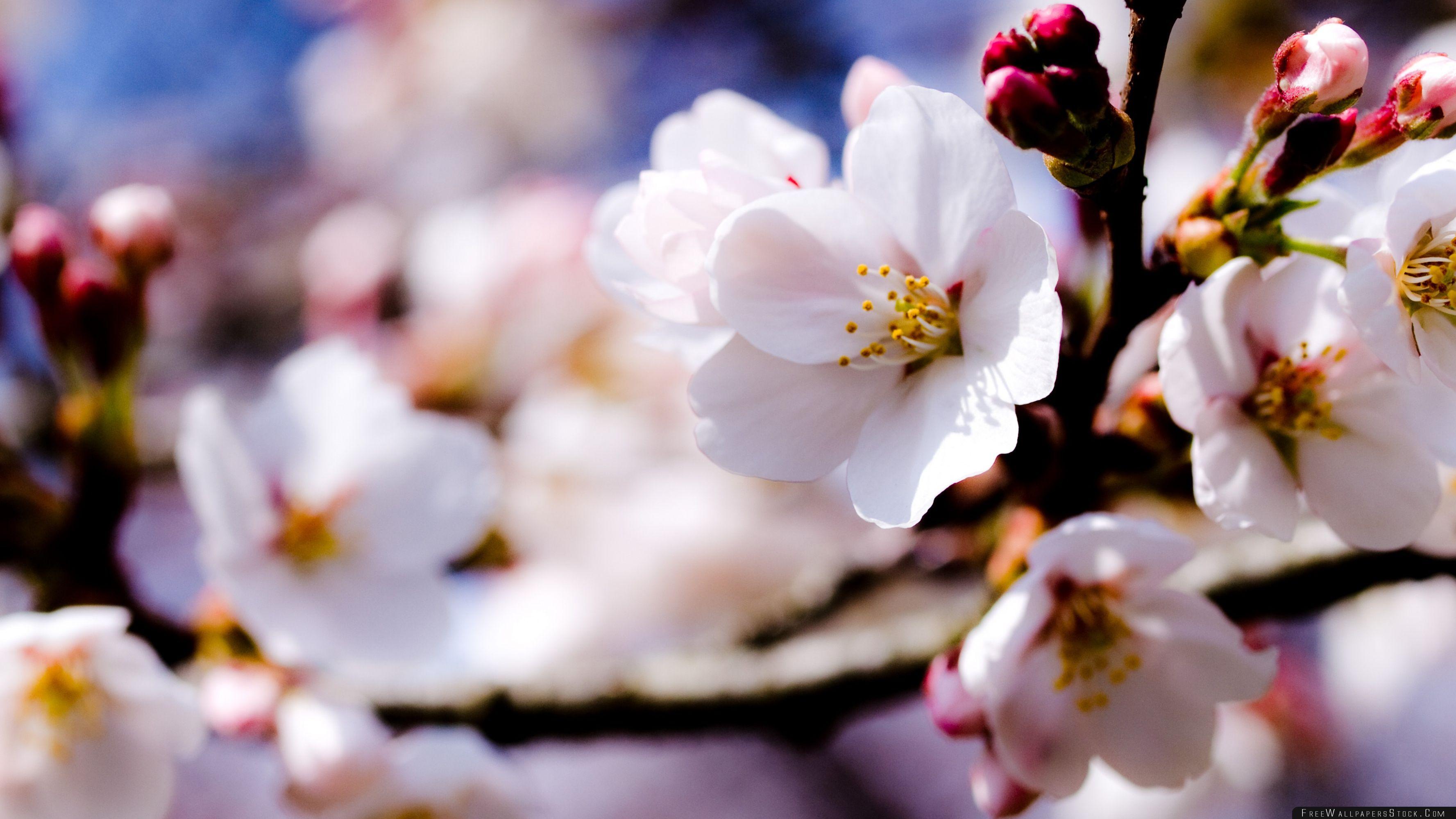Download Free Wallpaper White Spring Flowers   Tree Branch