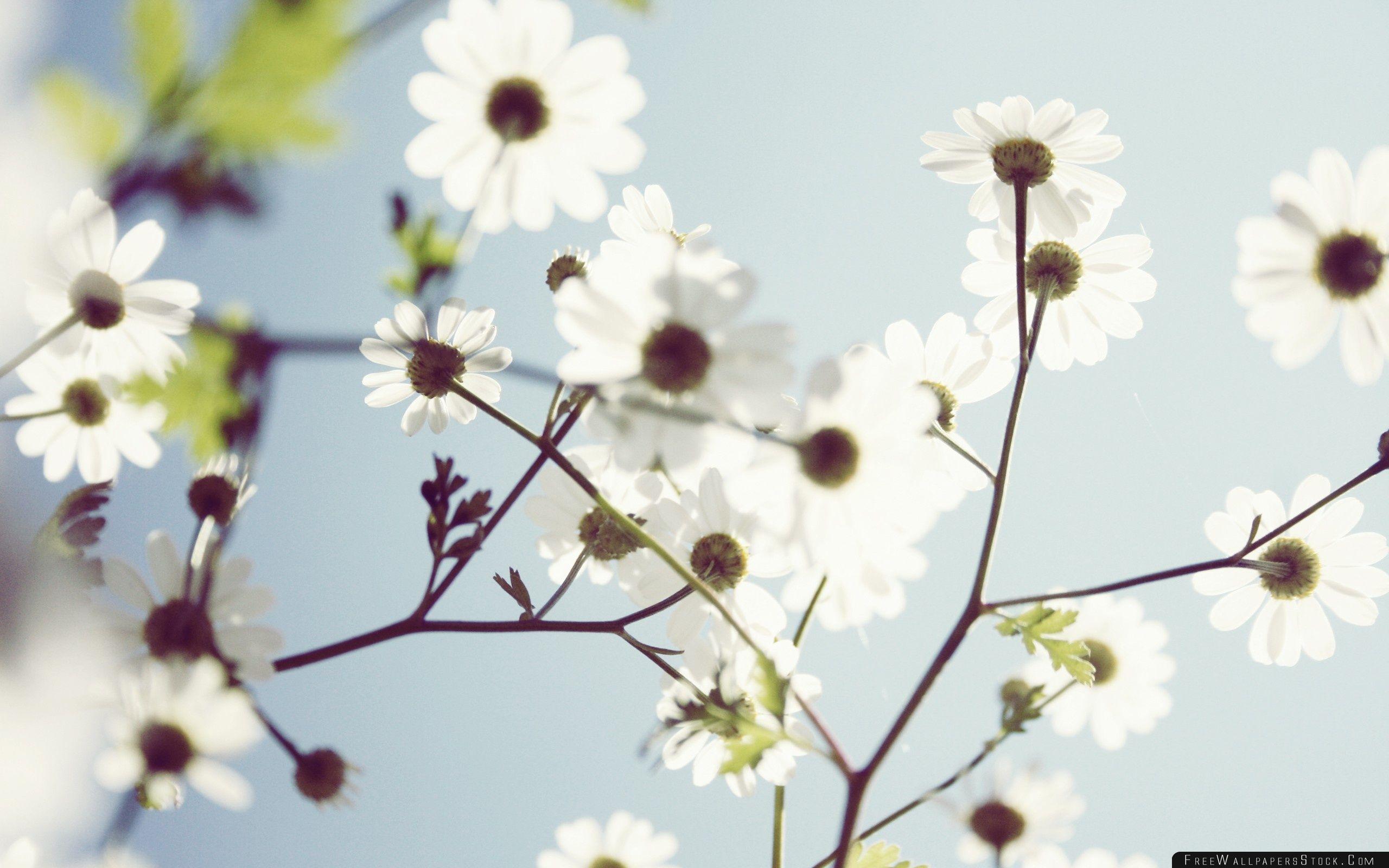 Download Free Wallpaper White Summer Flowers