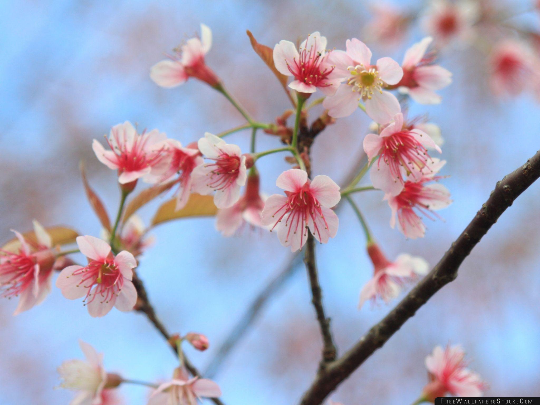 Download Free Wallpaper Wild Himalayan Cherry