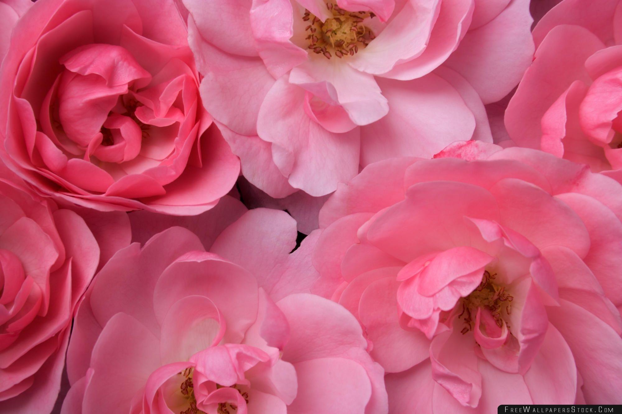 Download Free Wallpaper Wild Pink Roses