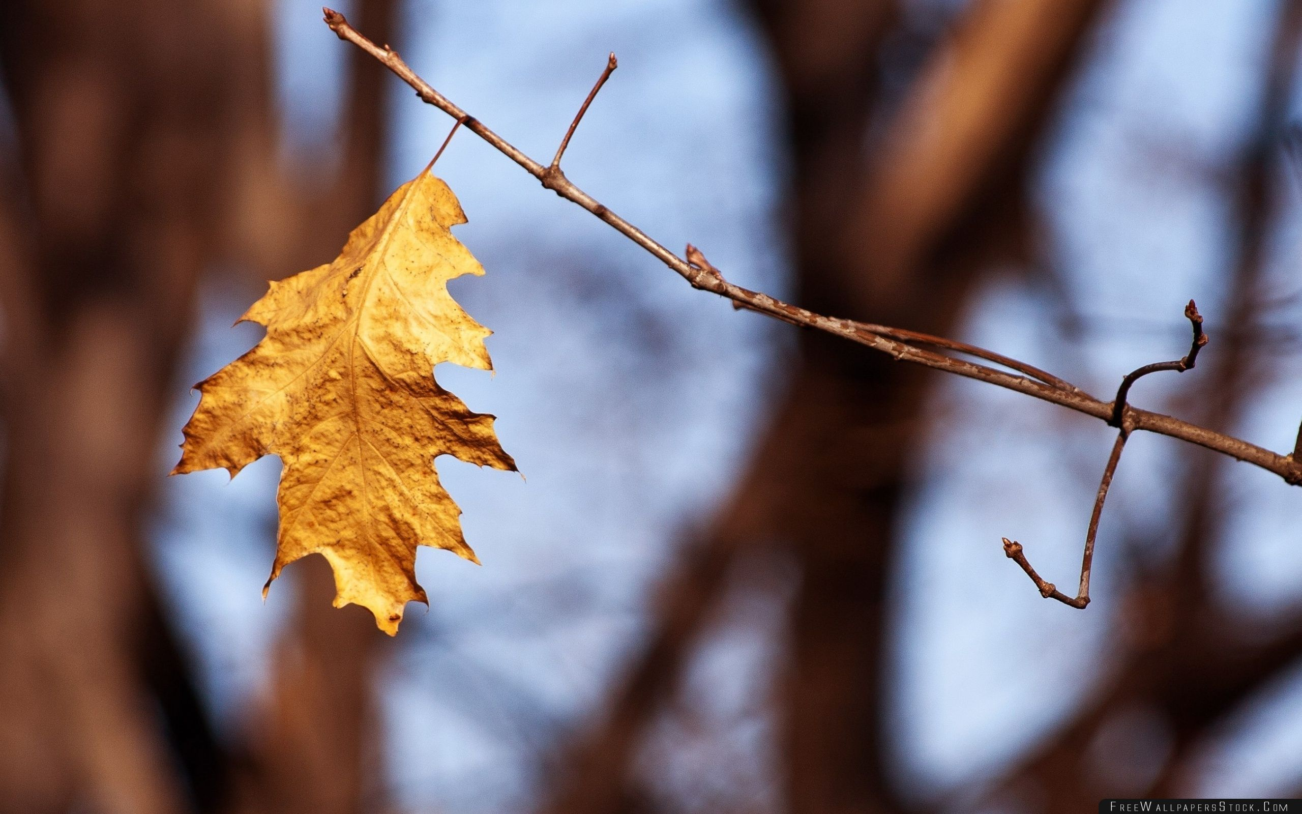 Download Free Wallpaper Withered Oak Leaf Autumn