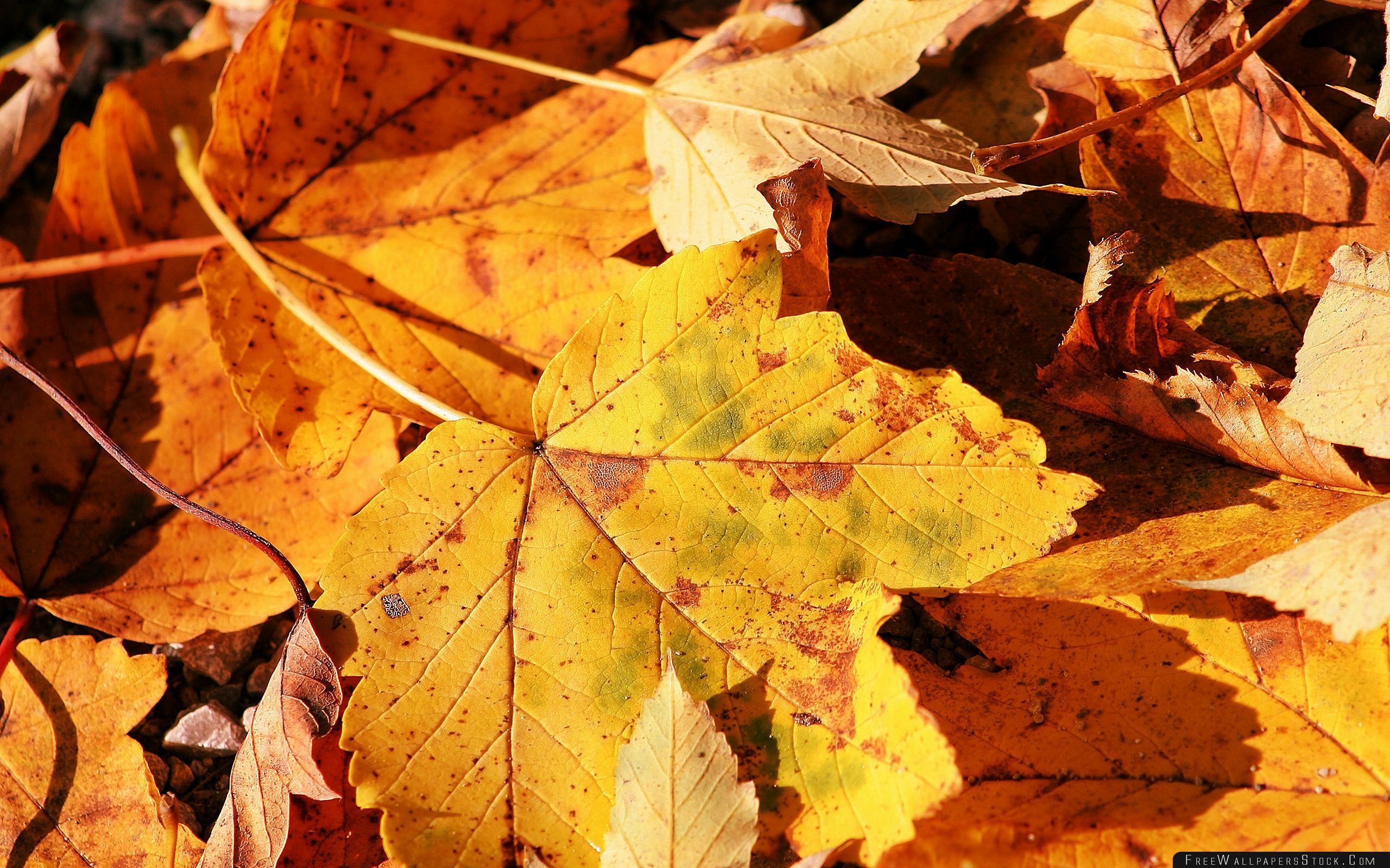 Download Free Wallpaper Yellow Autumn Leaves