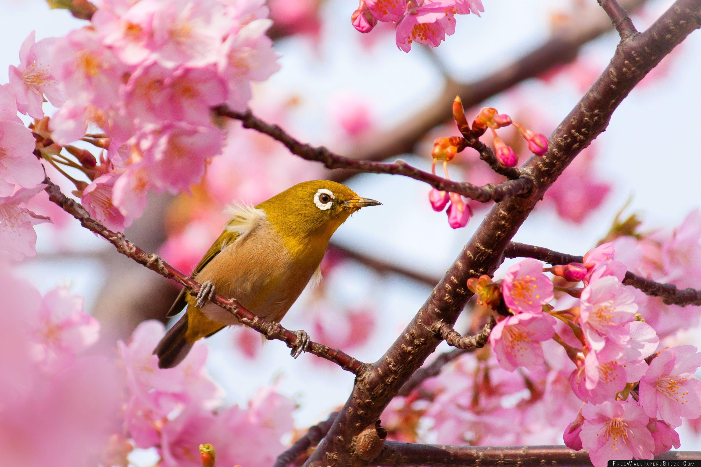Download Free Wallpaper Yellow Bird   Cherry Blossom Tree Branch