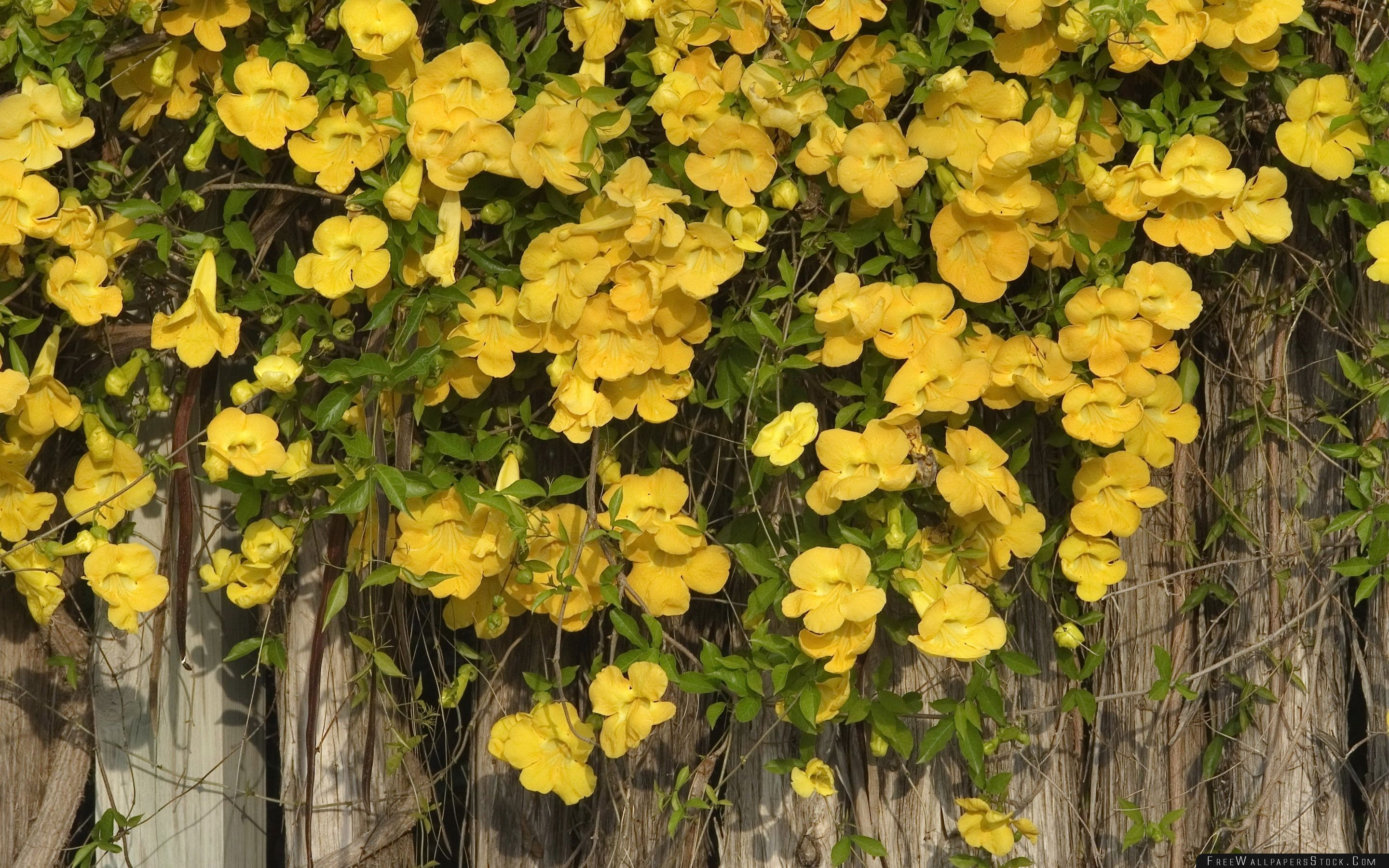 Download Free Wallpaper Yellow Flowers   The Fence