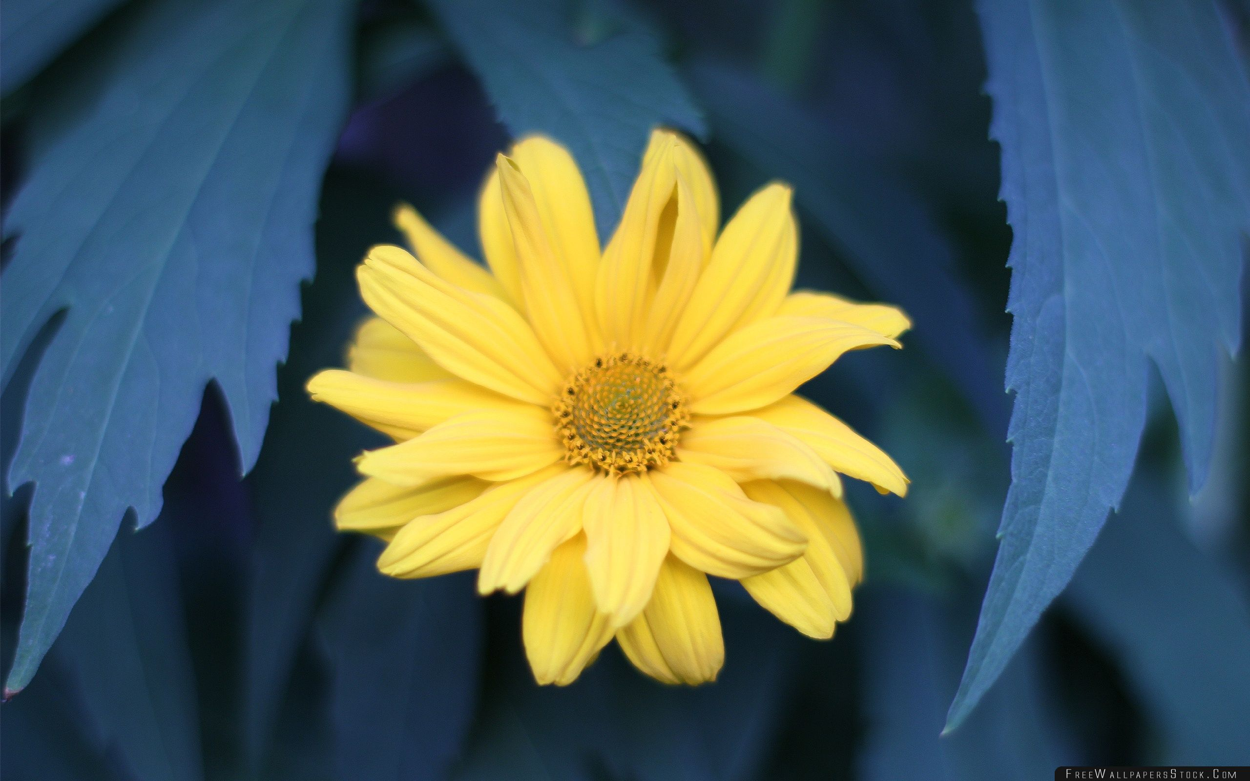 Download Free Wallpaper Yellow Flower With Blue Leaves