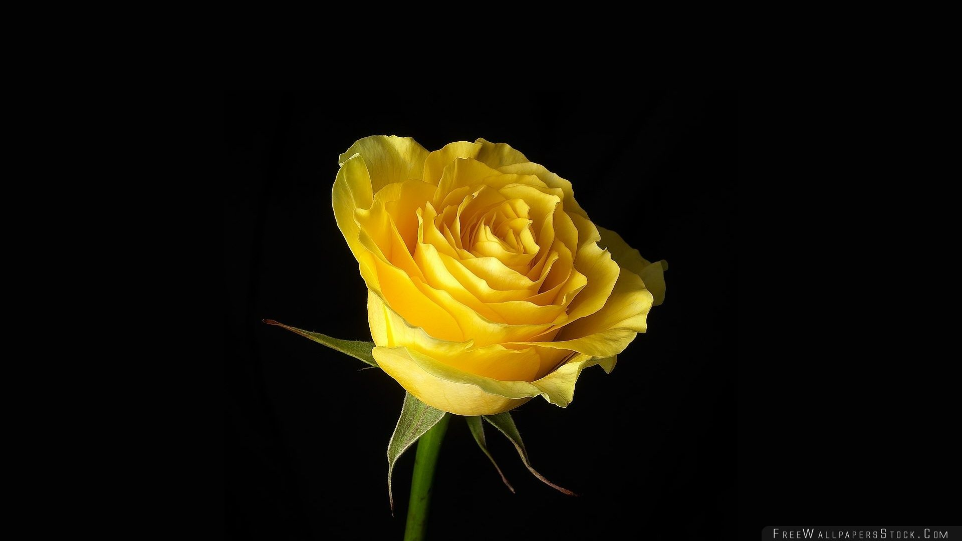Download Free Wallpaper Yellow Rose