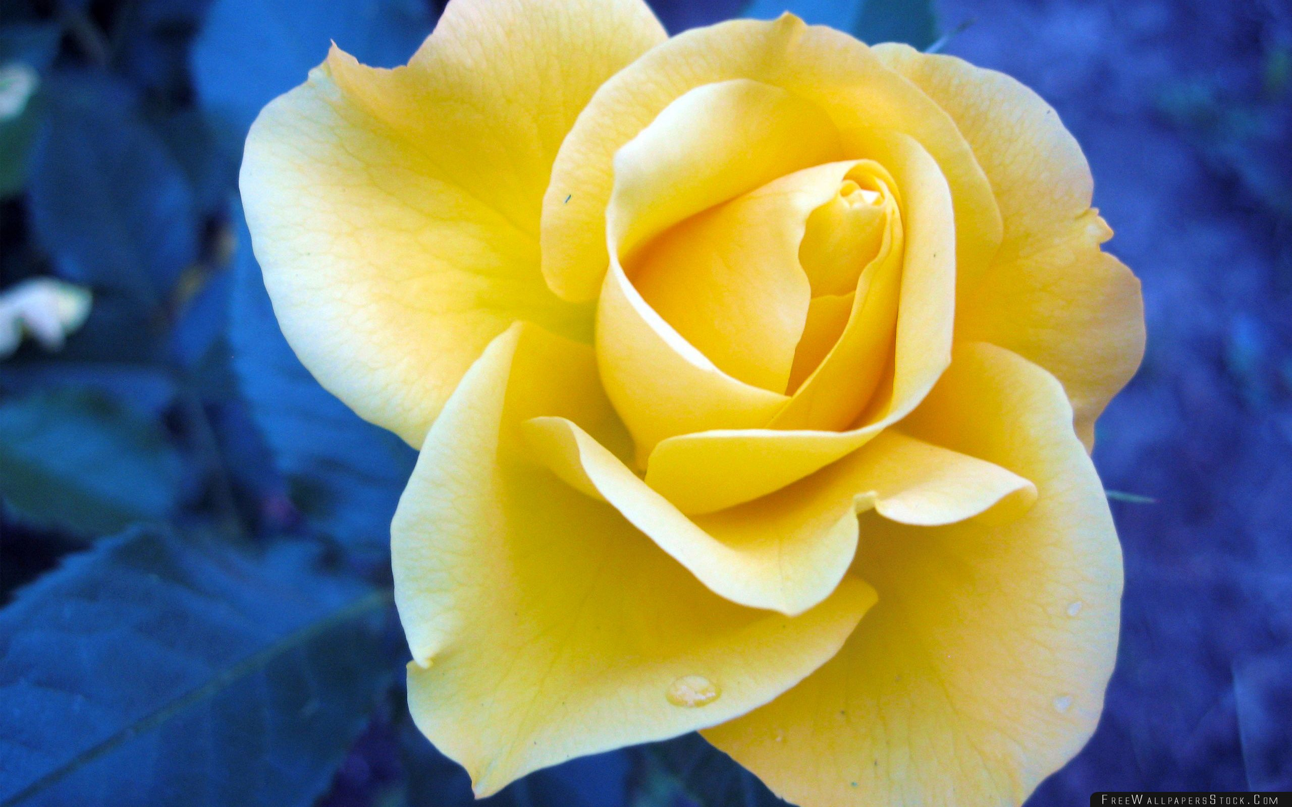 Download Free Wallpaper Yellow Rose Against   Blue Background