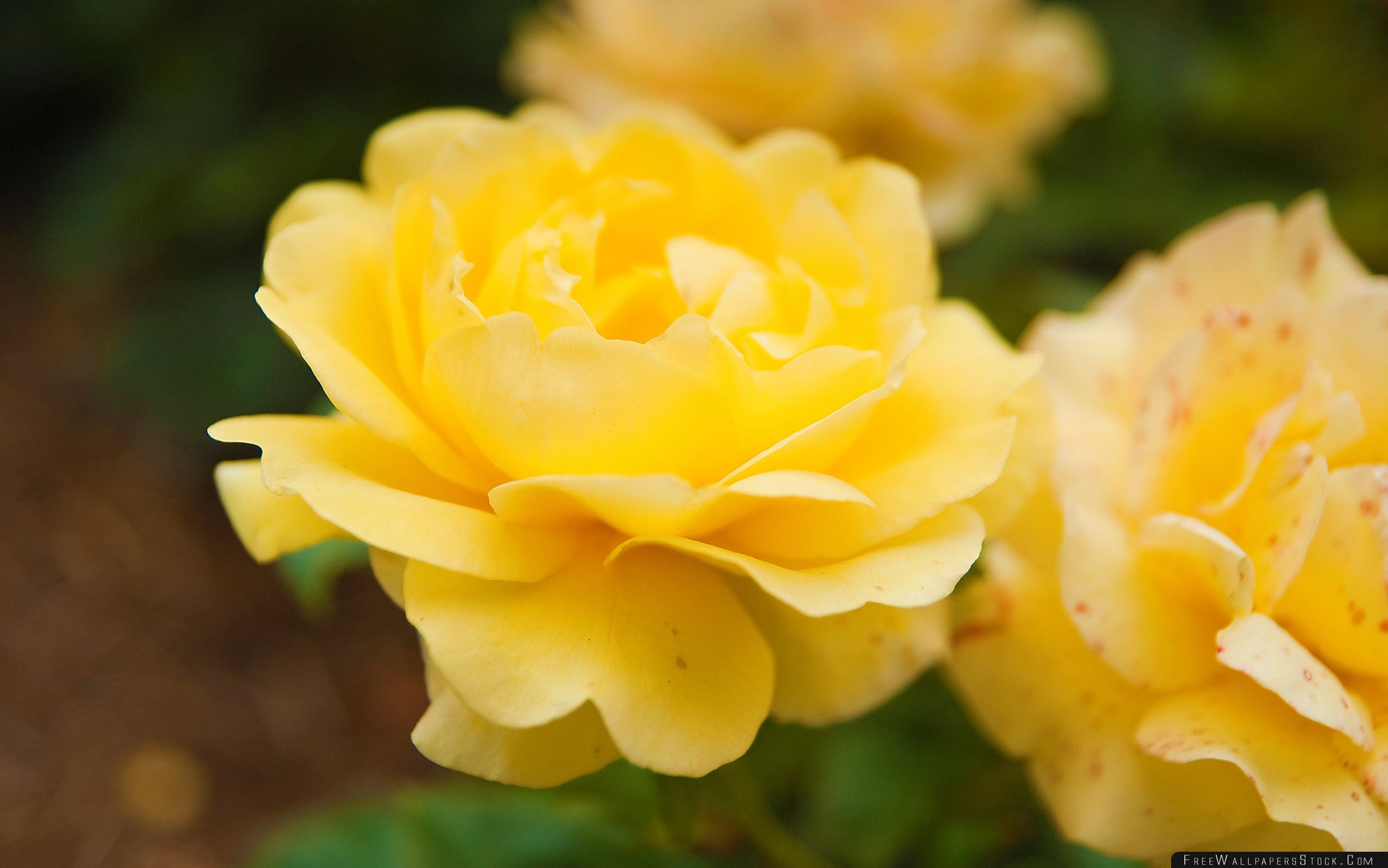 Download Free Wallpaper Yellow Rose Close