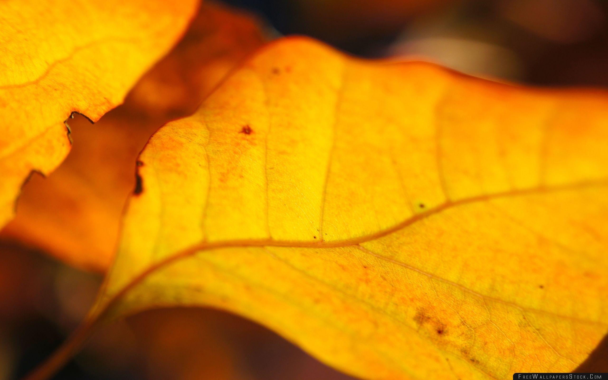 Download Free Wallpaper Yellow Walnut Leaves