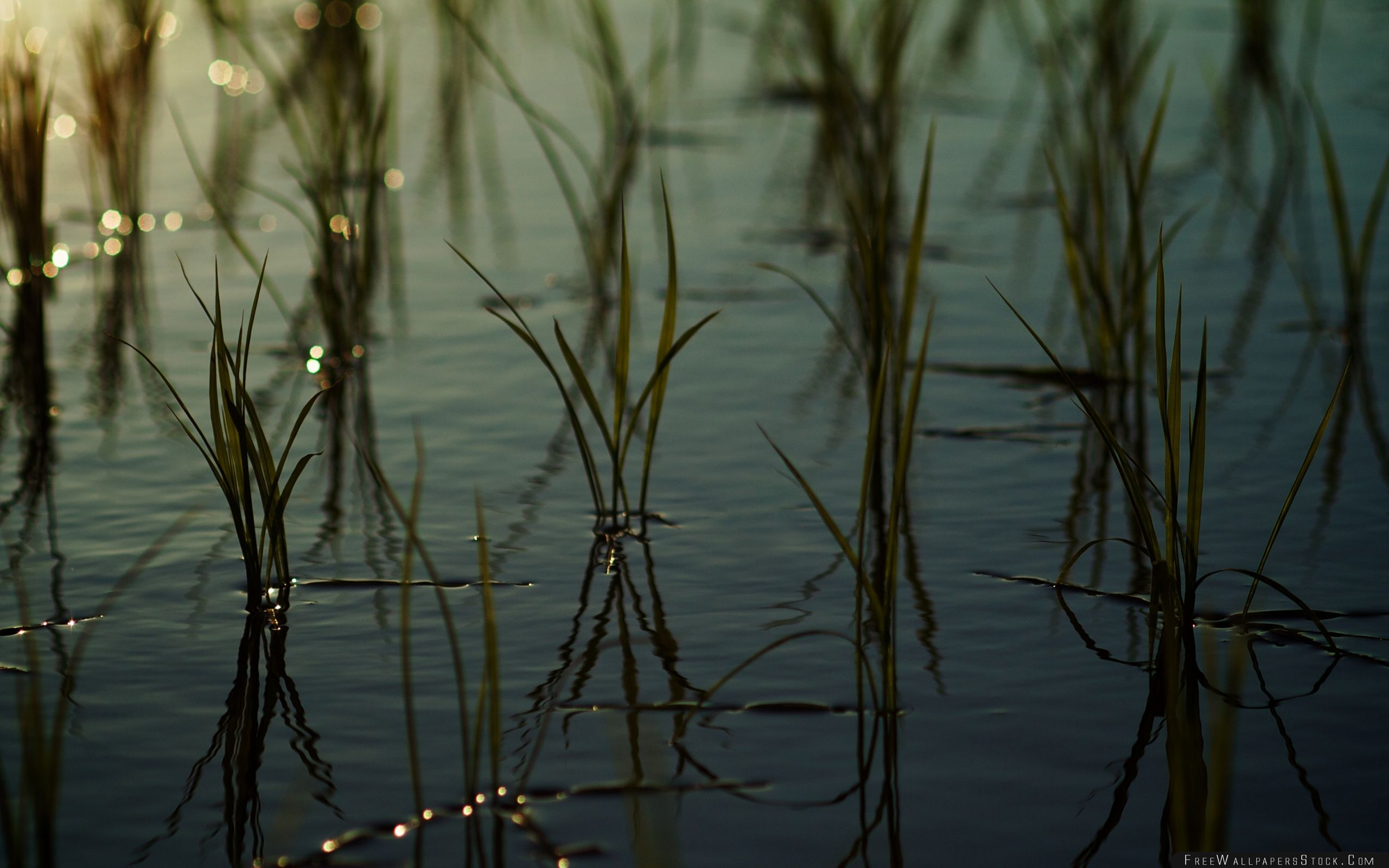Download Free Wallpaper Young Rice   Paddy