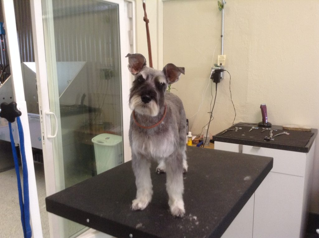 SG schnauzer dog after