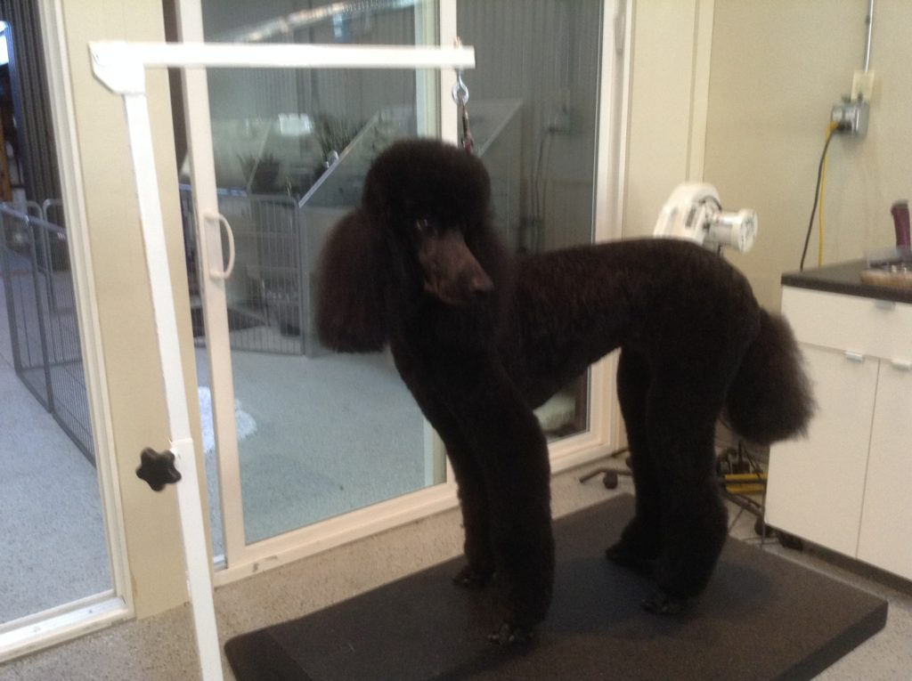 SG standard poodle black after 2