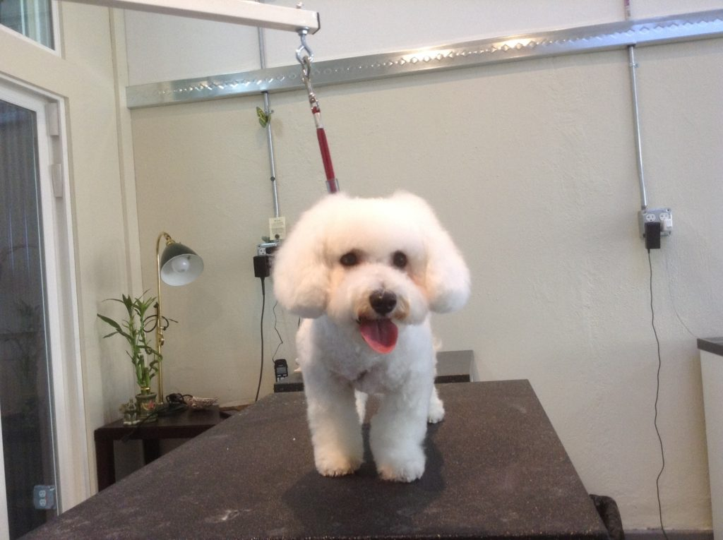 SG white dog after
