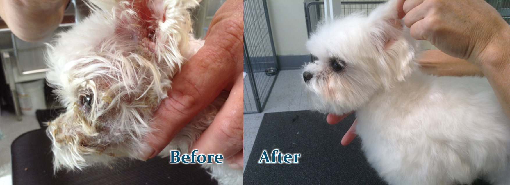 white rescue dog before and after 2