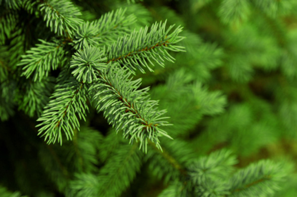 Fresh Christmas Trees need to be watered daily