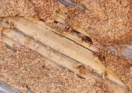 اضرار النمل الابيض بالدمام