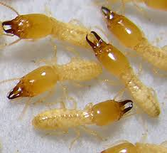 انواع النمل الابيض بالدمام